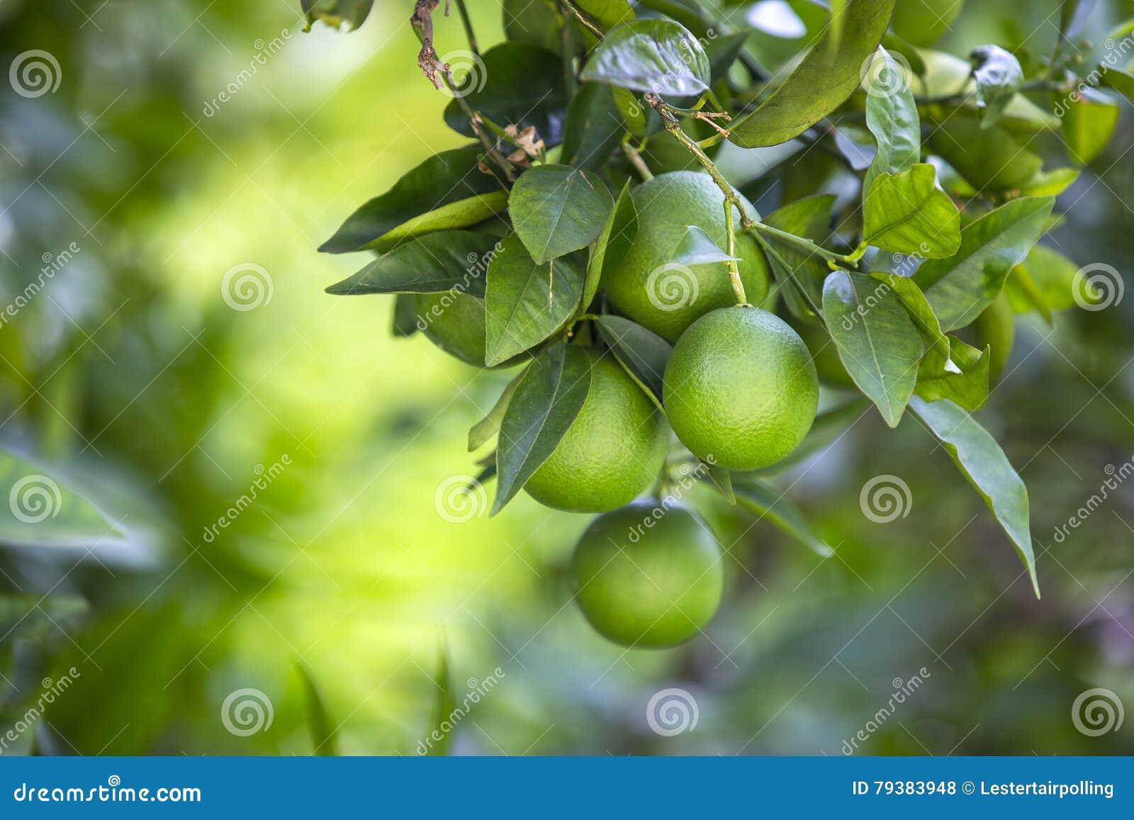 Fruits померанцовый вал