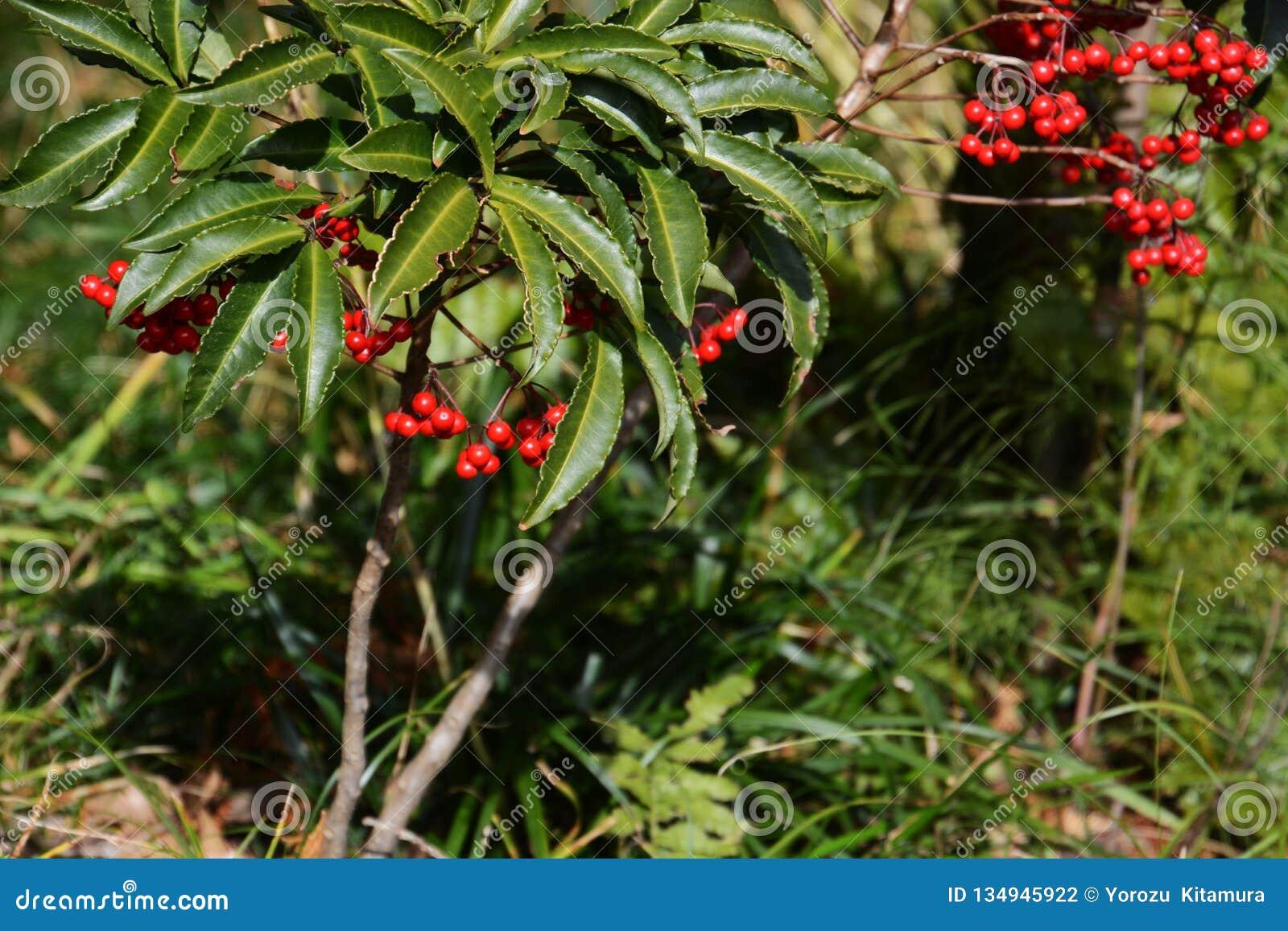 Ardisia crenata fruits