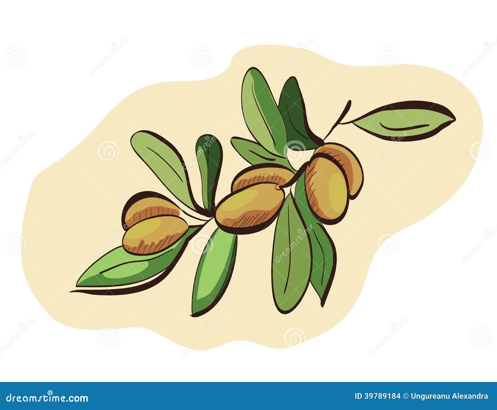 Fruits d argan sur la branche