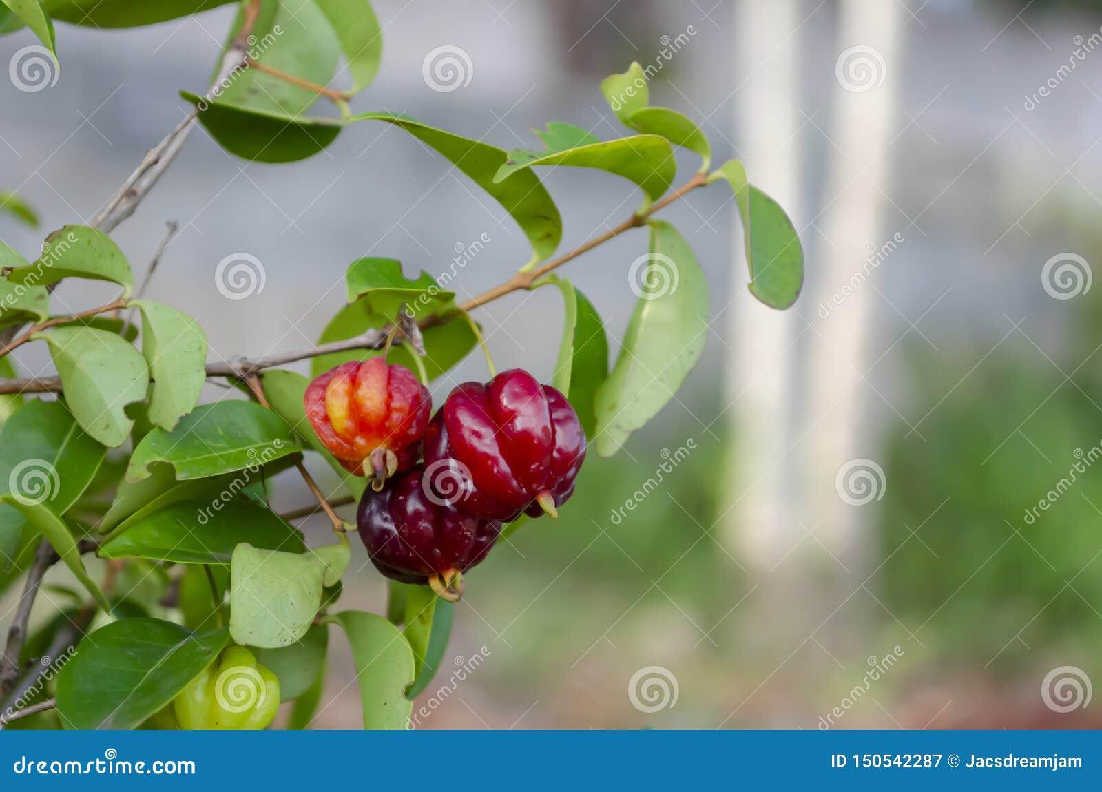Fruits de cerise de Cayenne sur l arbre