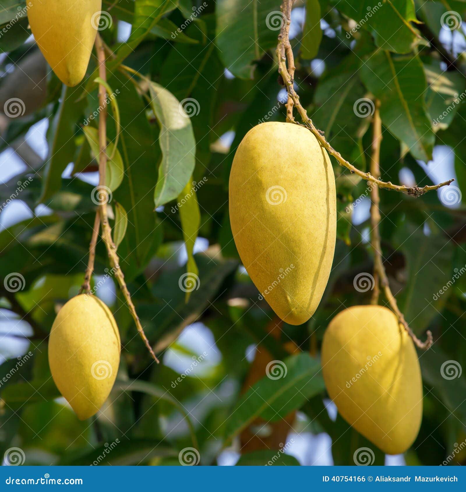fruits de mangue sur un arbre photo stock image 40754166. Black Bedroom Furniture Sets. Home Design Ideas