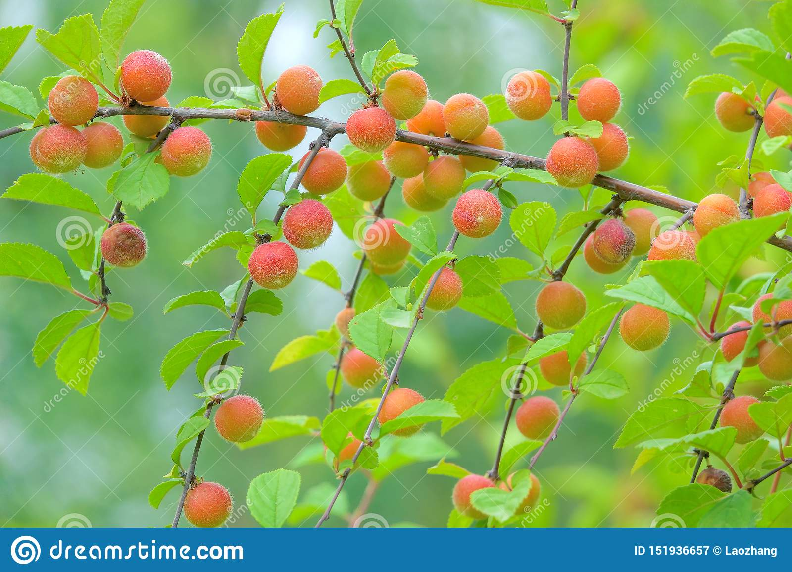 Fruits Of Flowering Plum Stock Image Image Of Wild 151936657