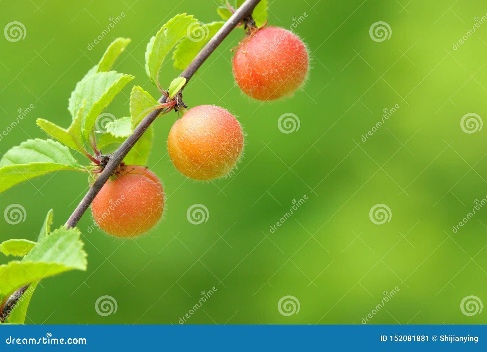 Fruits Of Flowering Plum Stock Image Image Of Fruitage 152081881