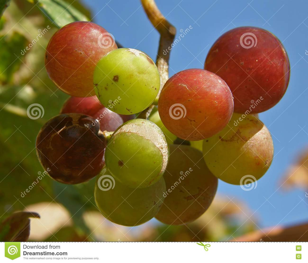 Fruits Of Grapes In Different Colors Stock Photography