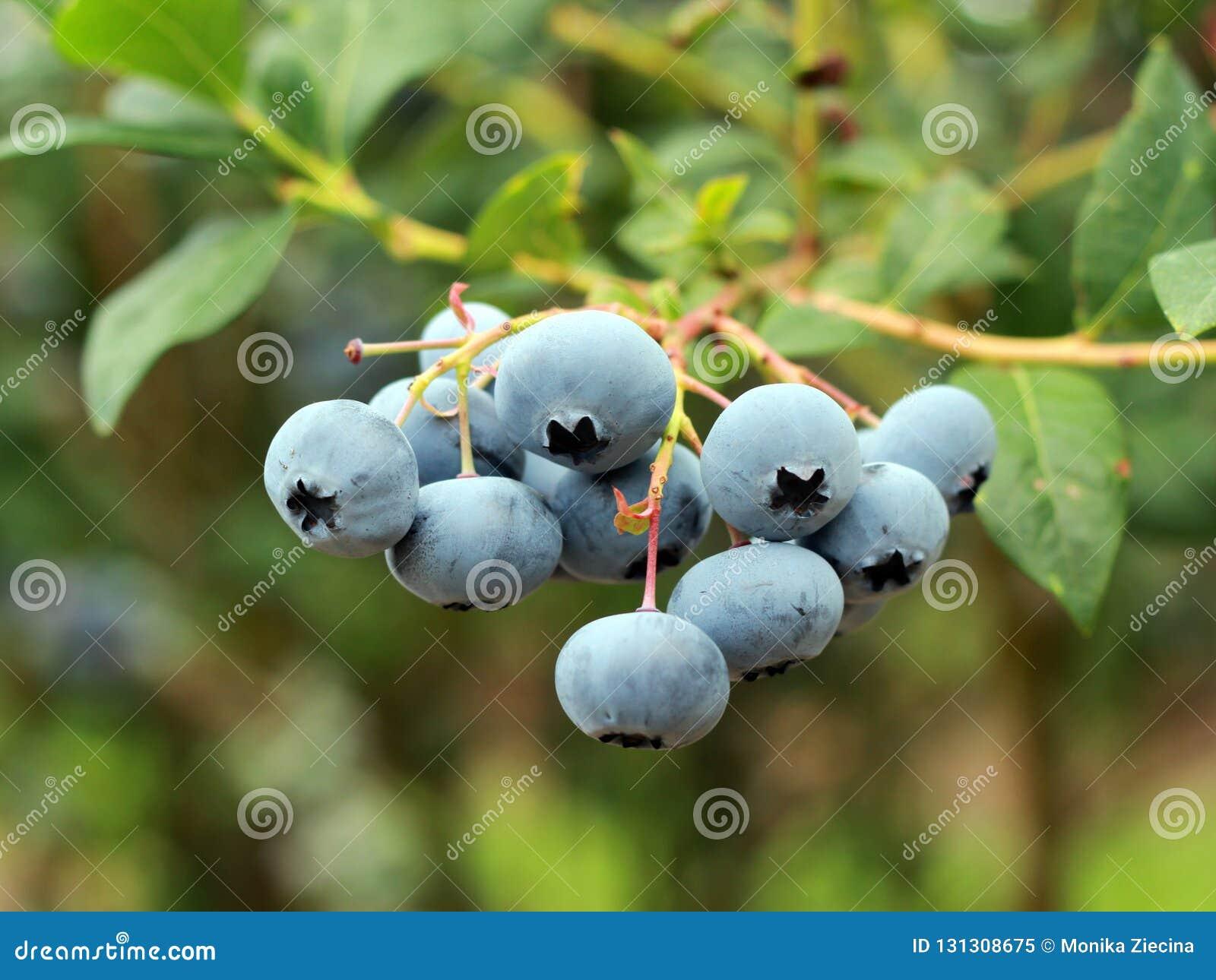 Fruits Of Highbush Blueberry In Plantation Stock Image