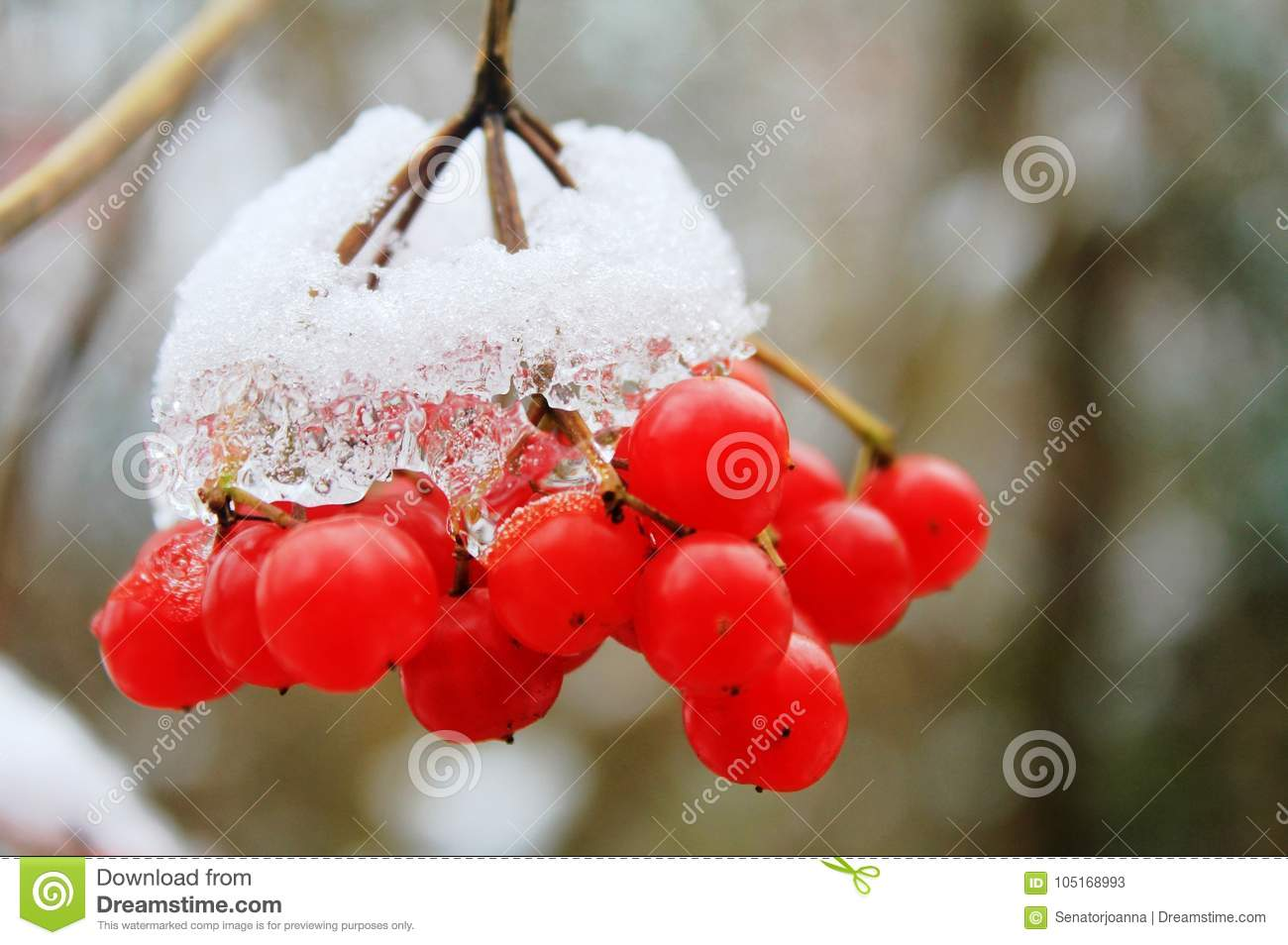 Fruits of mountain - ash under snow