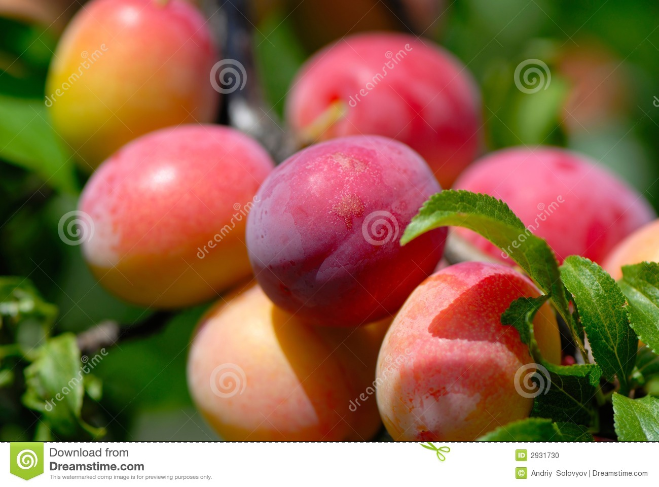 Fruits ripe plums