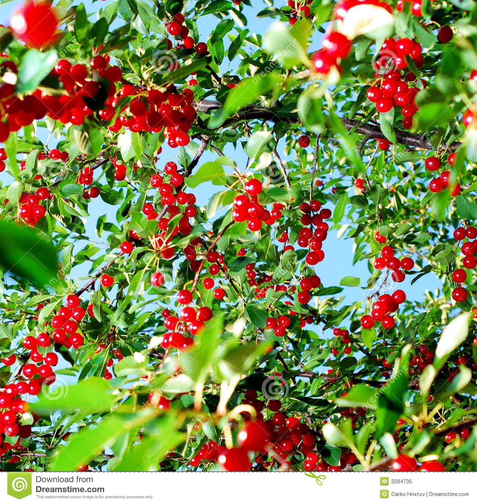 fruits rouges de cerise sur l 39 arbre photo libre de droits image 3284735. Black Bedroom Furniture Sets. Home Design Ideas