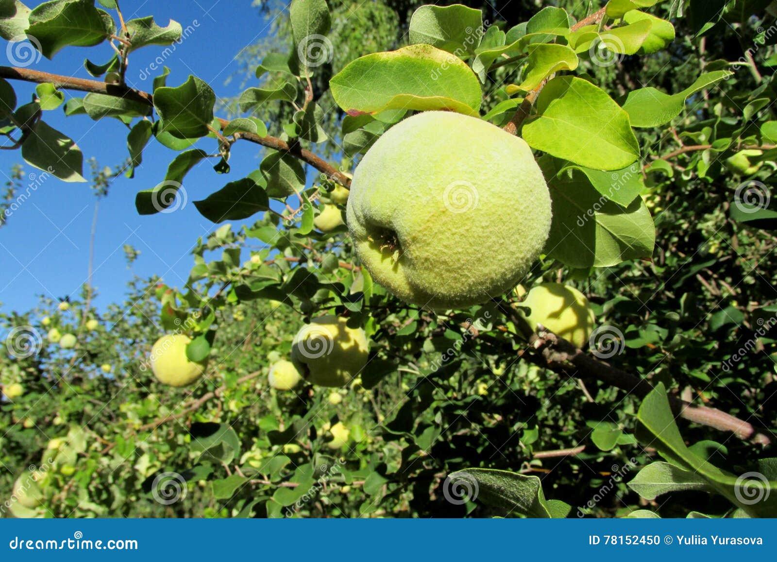 fruits verts de coing de pomme sur l 39 arbre photo stock image 78152450. Black Bedroom Furniture Sets. Home Design Ideas