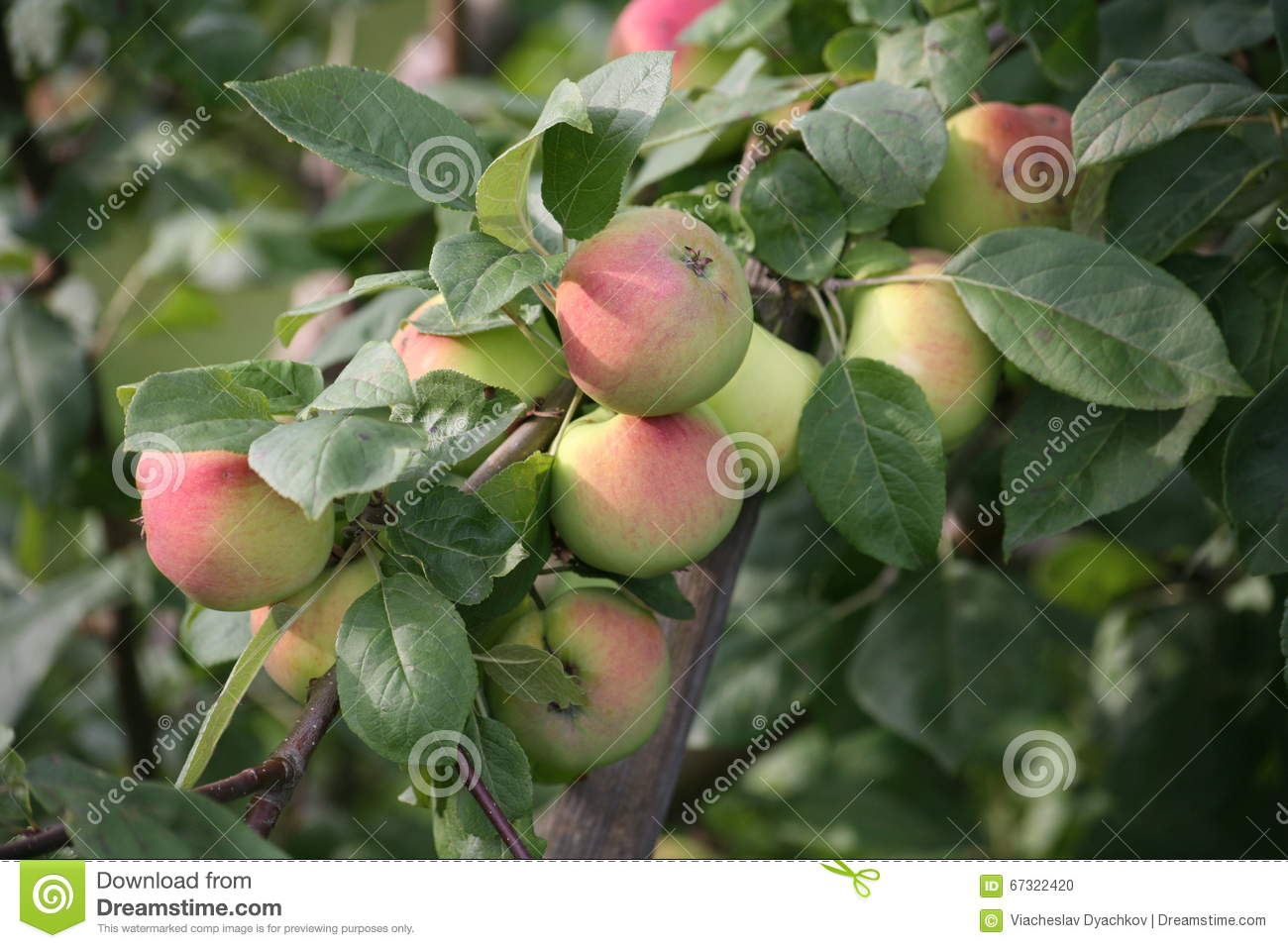 The fruits of yellow red ripe apples on the branches of cultivated Apple trees in summer English garden