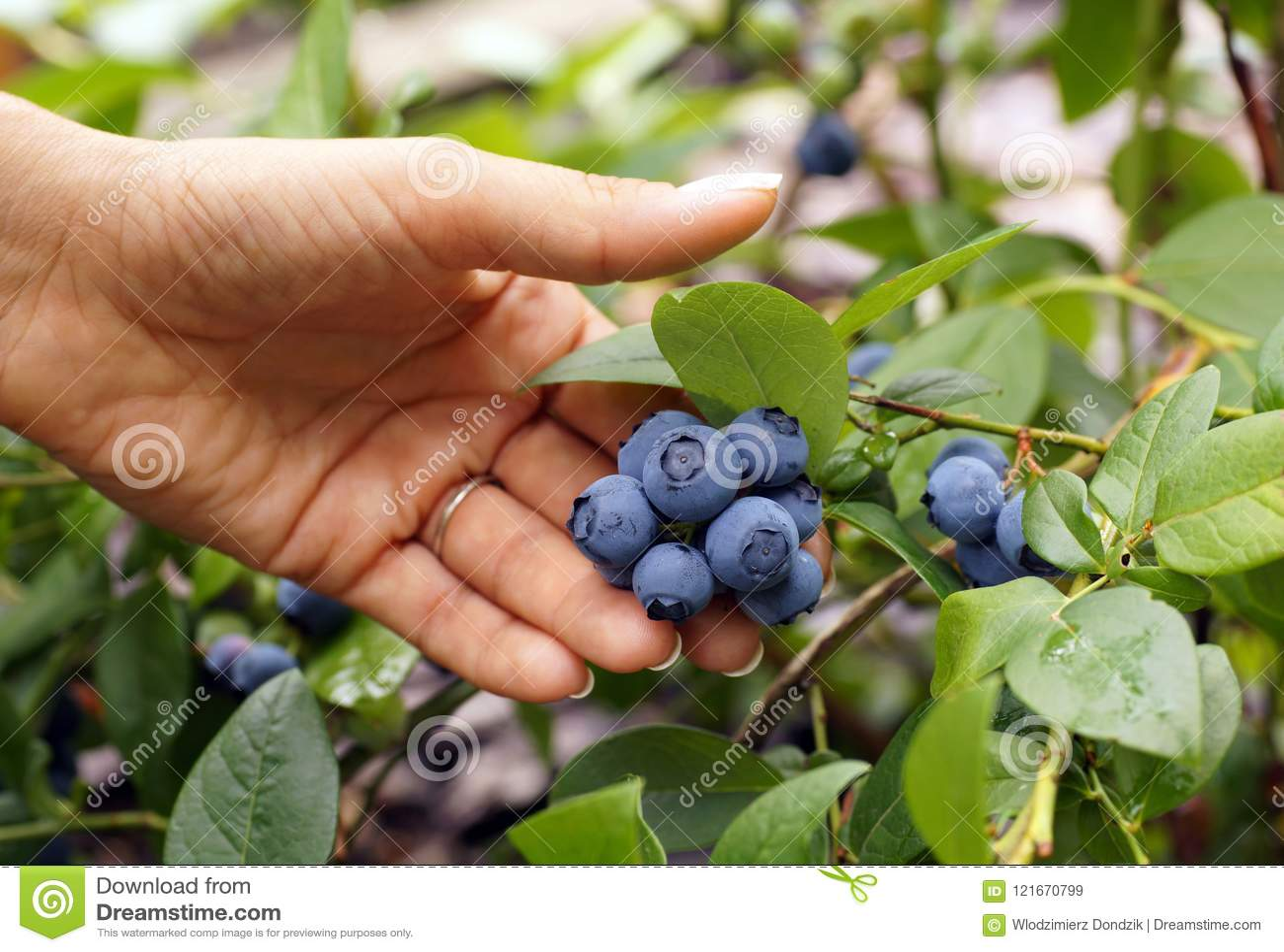 Frukt för blåbär för kvinnliga handgåvor härlig