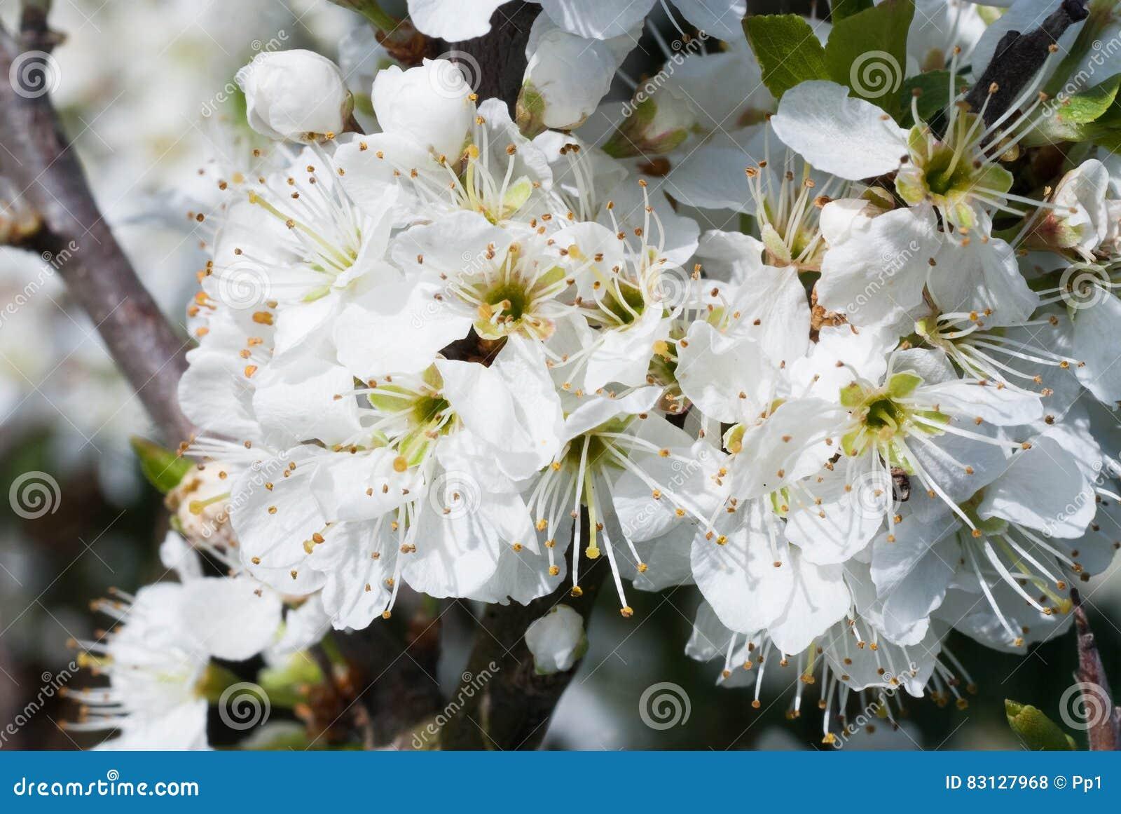 Frukt för vår för detalj för blomning för blom för vit blomma för buske för växt för slån för slånprunusspinosa lös