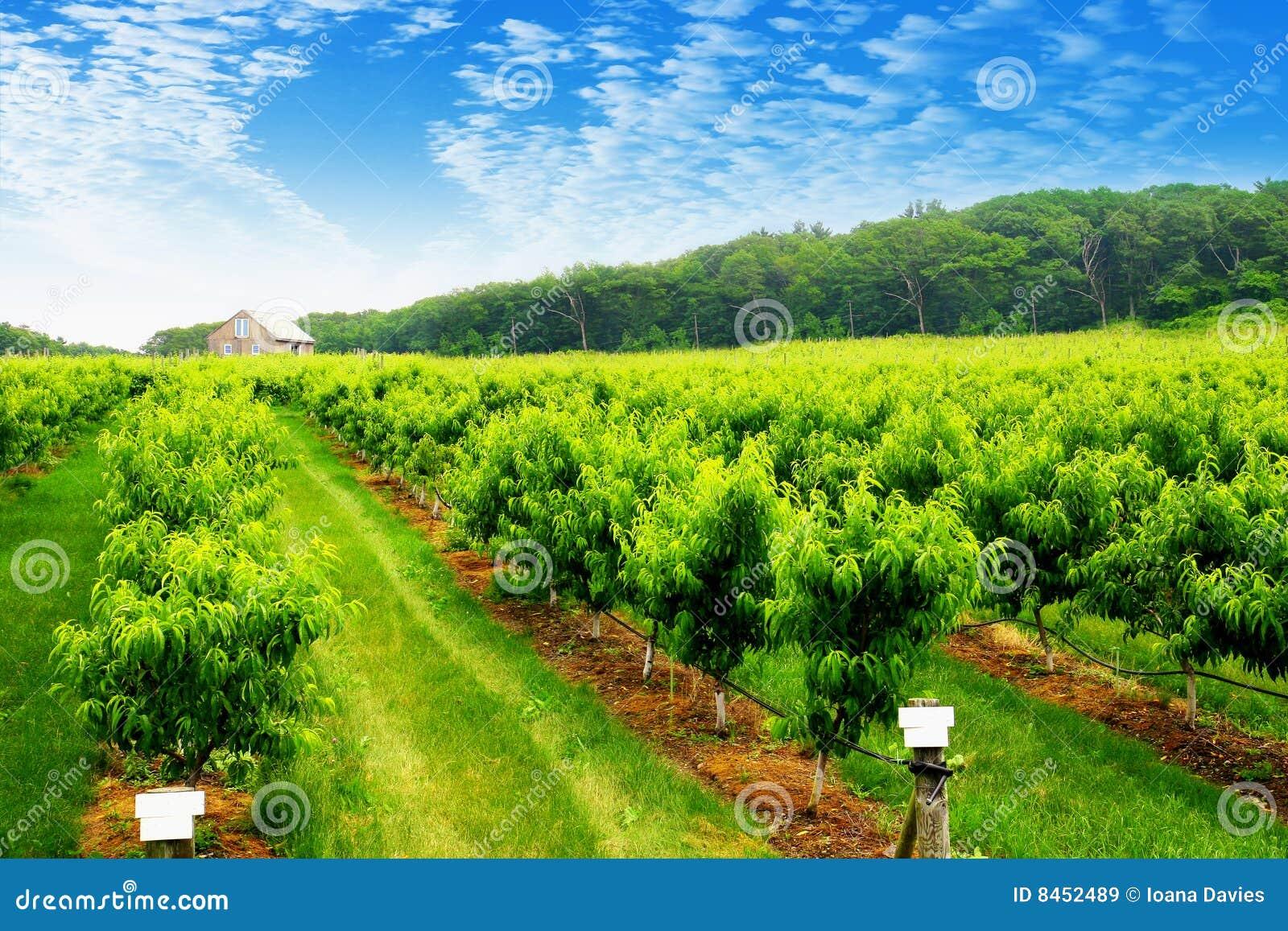 Fruktträdgårdfjäder