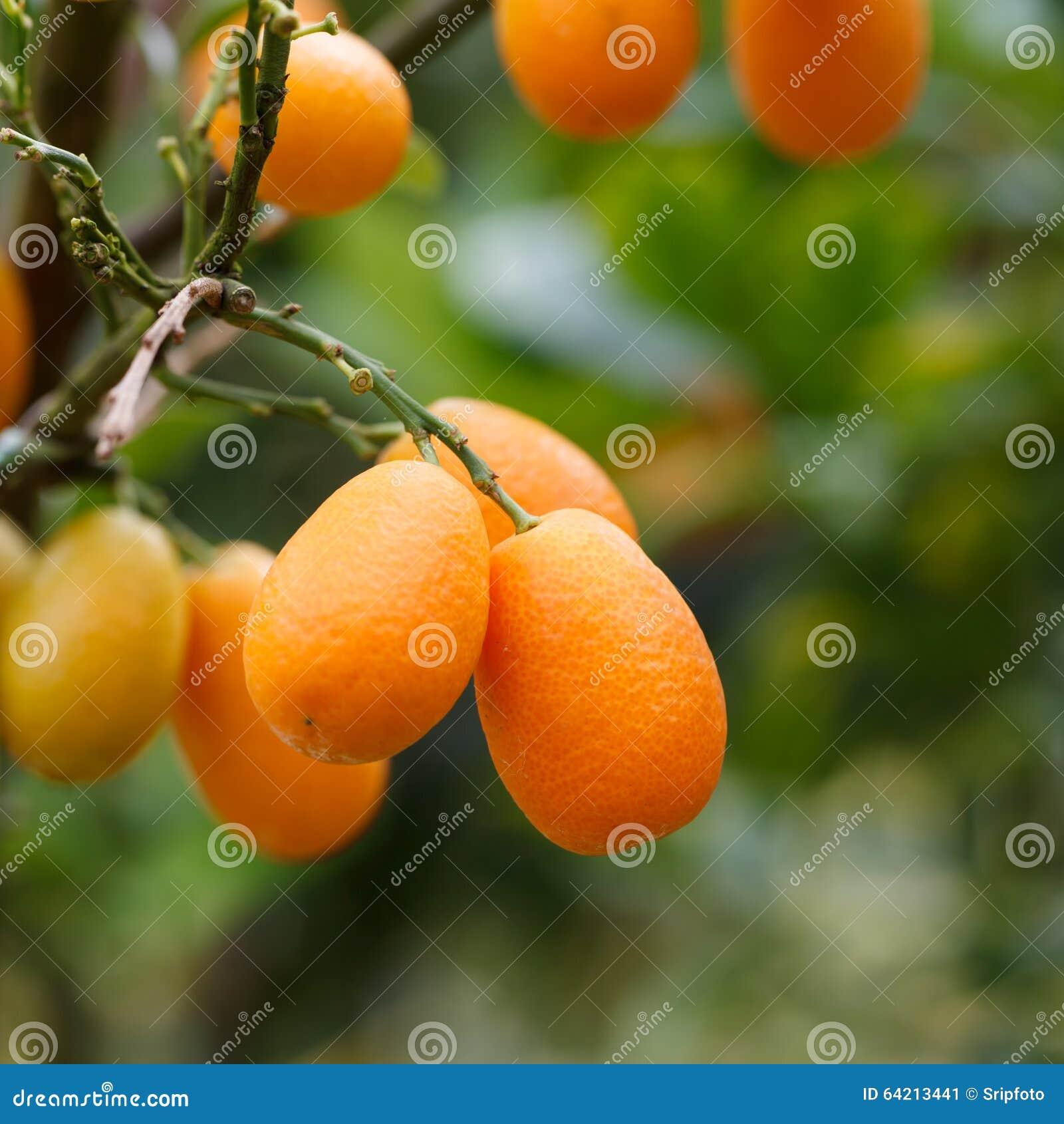 Fruta anaranjada del kumquat en el árbol