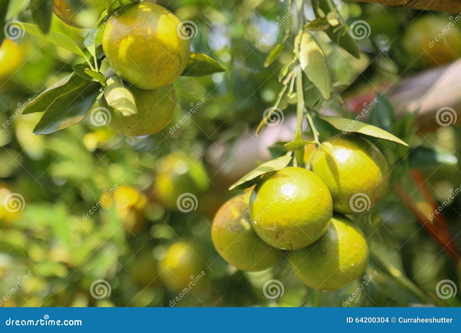 Fruta anaranjada fresca en huerta, fruta limpia o fondo popular de la fruta, fruta del mercado de la huerta de la agricultura