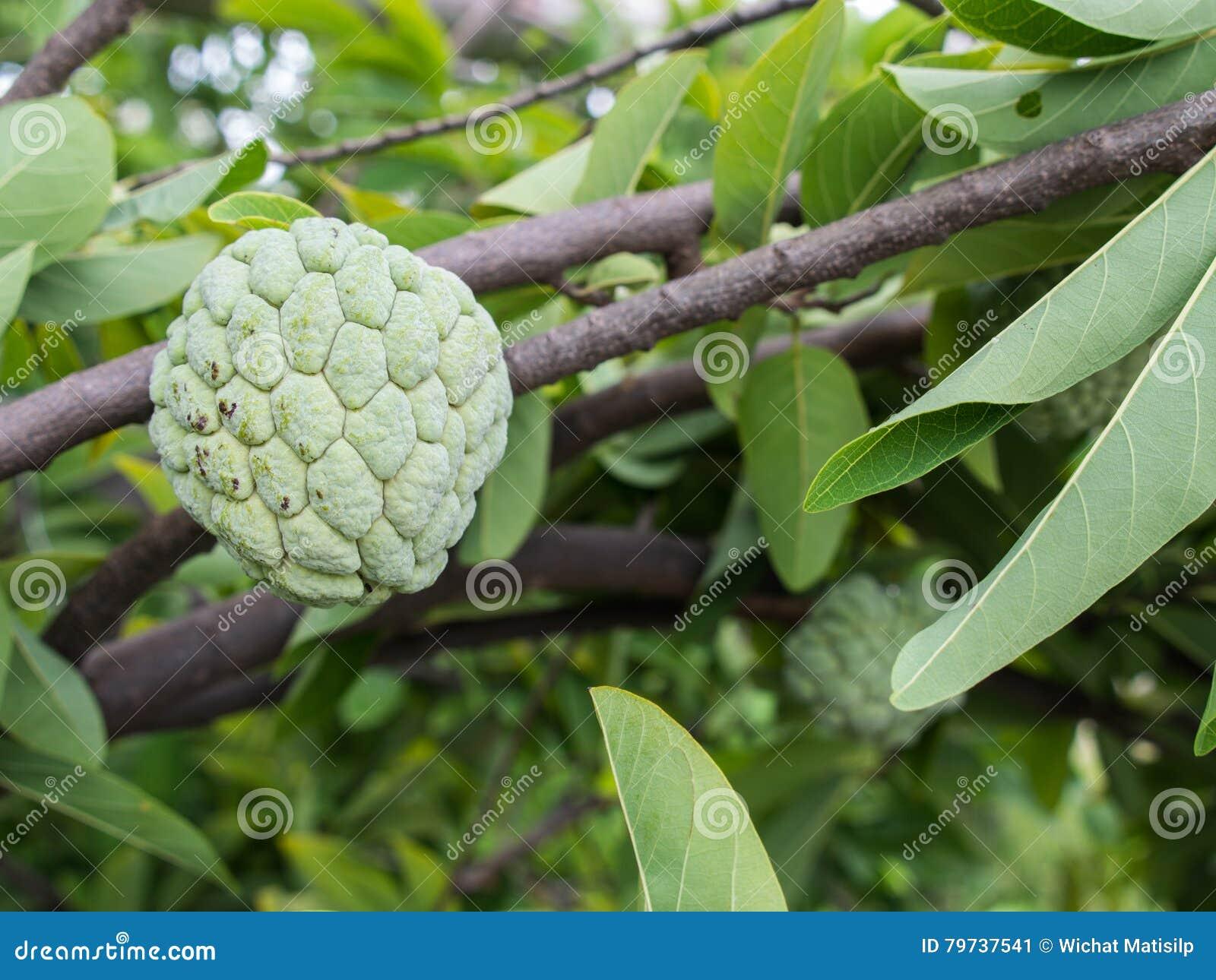 Fruta de la anona