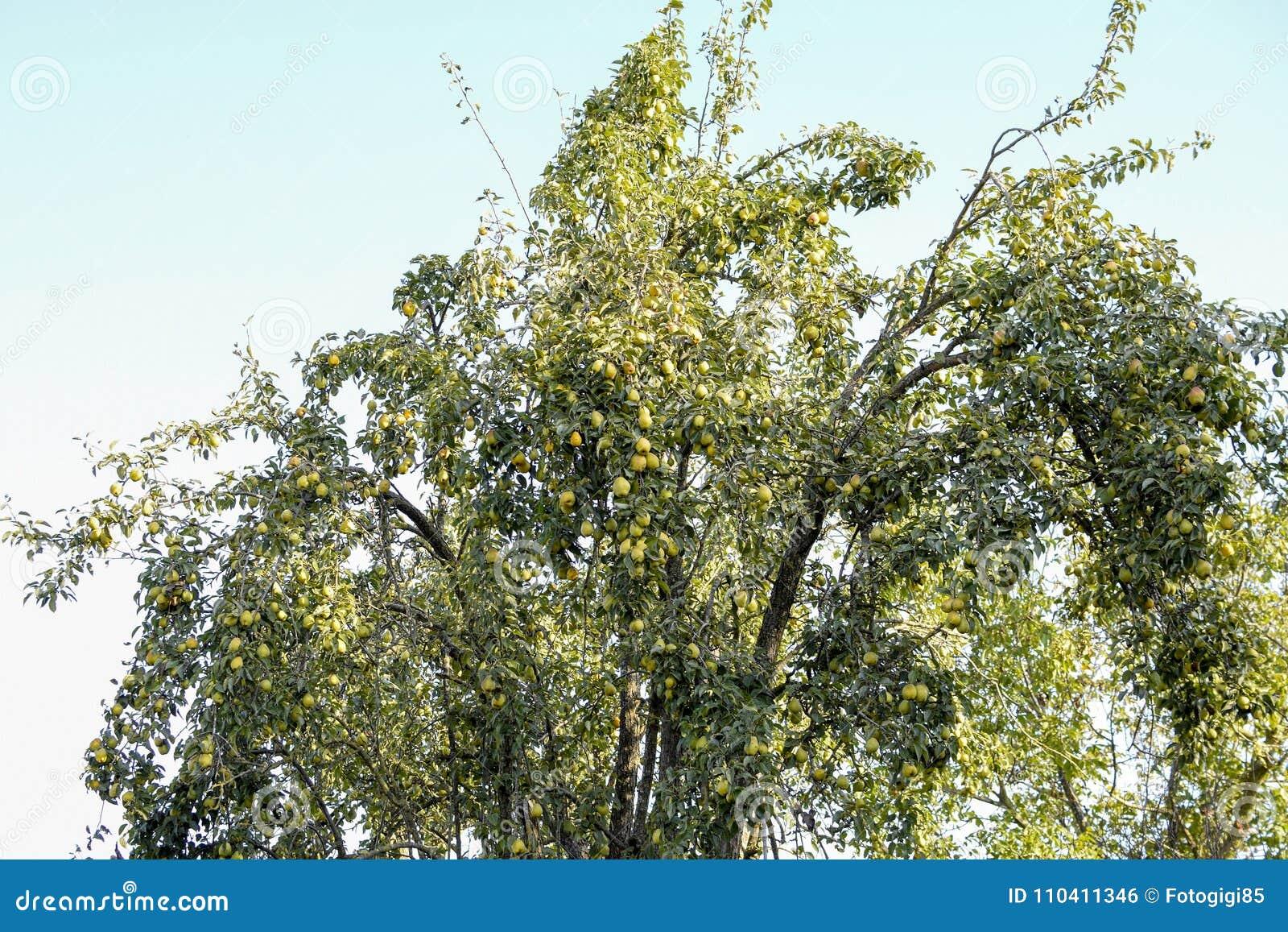 Fruta de la pera en las ramas de un árbol Peral viejo