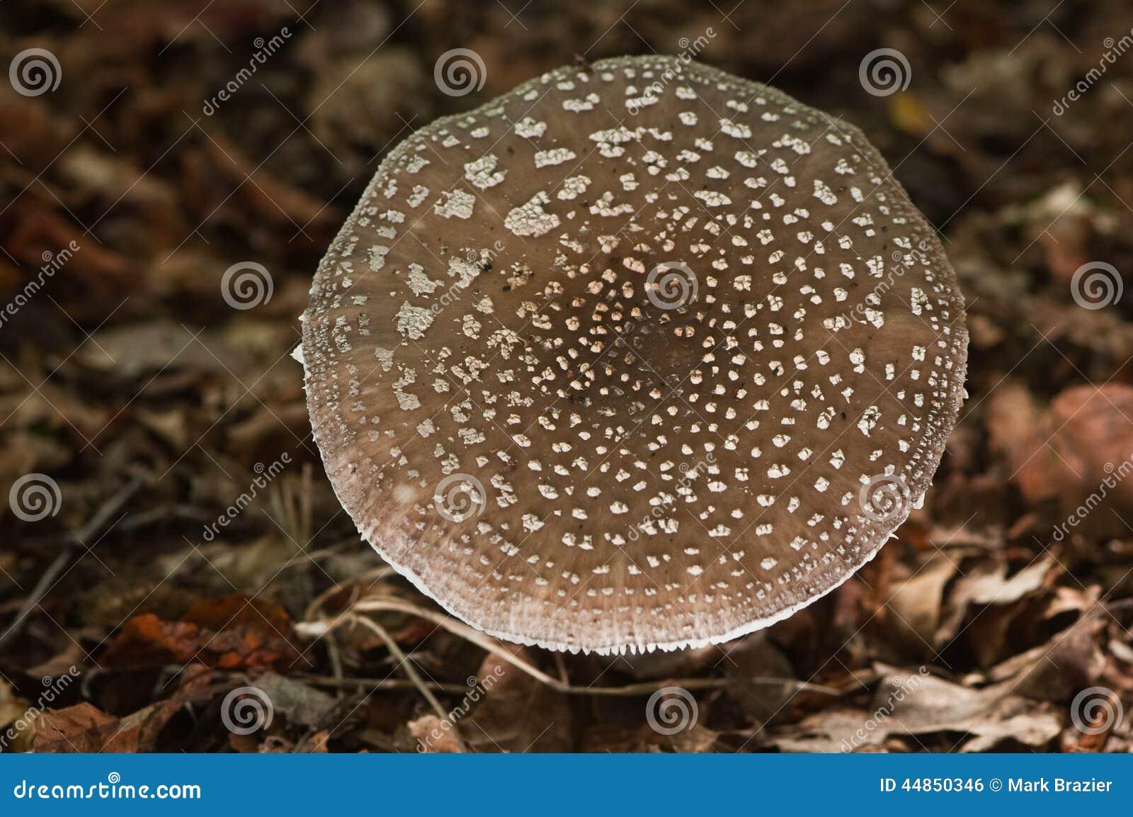 Fruta del top plano de los hongos de la amanita
