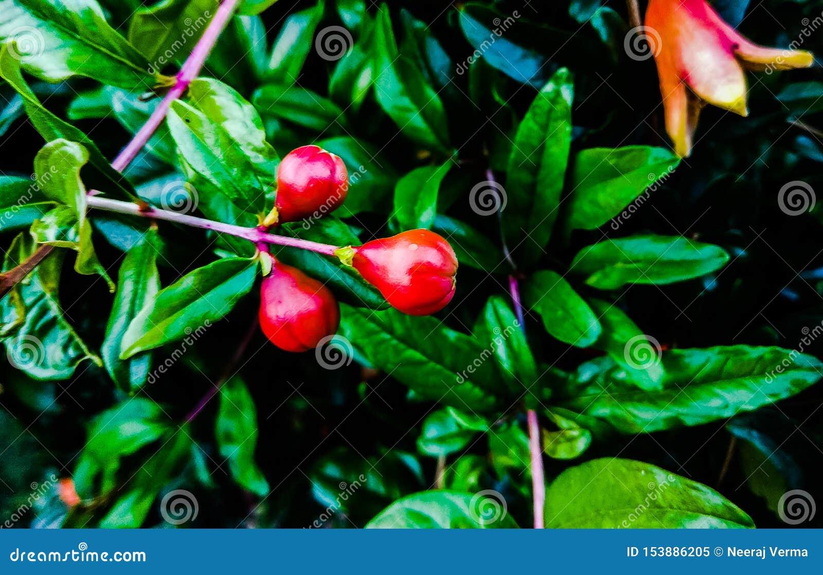 Fruta floreciente de la granada