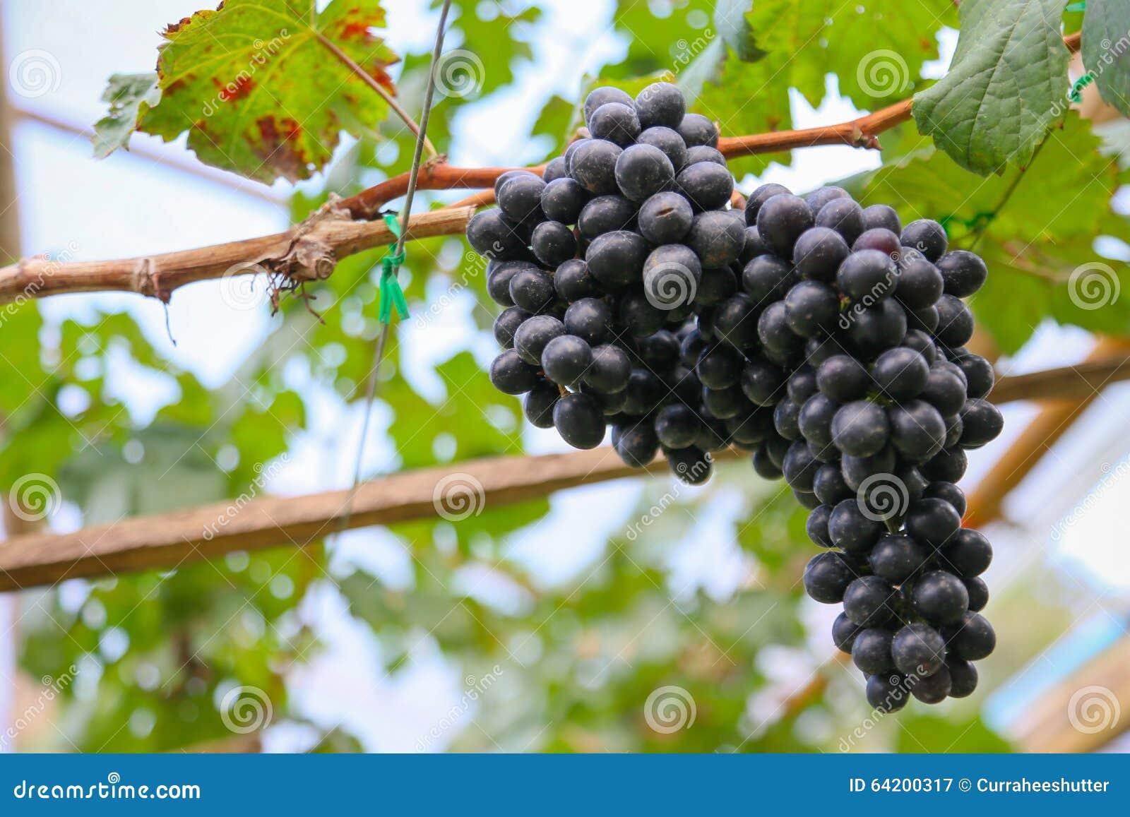 Fruta fresca de la baya o de la uva en huerta, fruta limpia o fondo popular de la fruta, fruta del mercado de la huerta de la agr