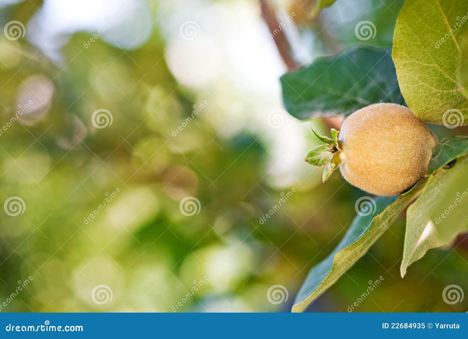 Fruta joven en rbol de membrillo foto de archivo libre de - Arbol de membrillo ...