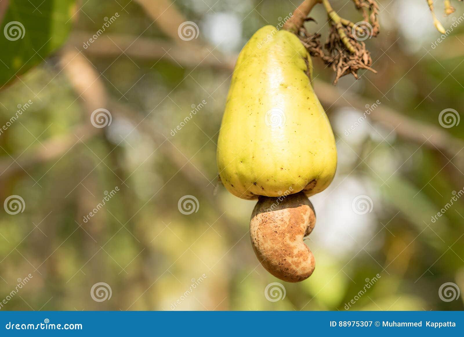 Fruta madura do caju
