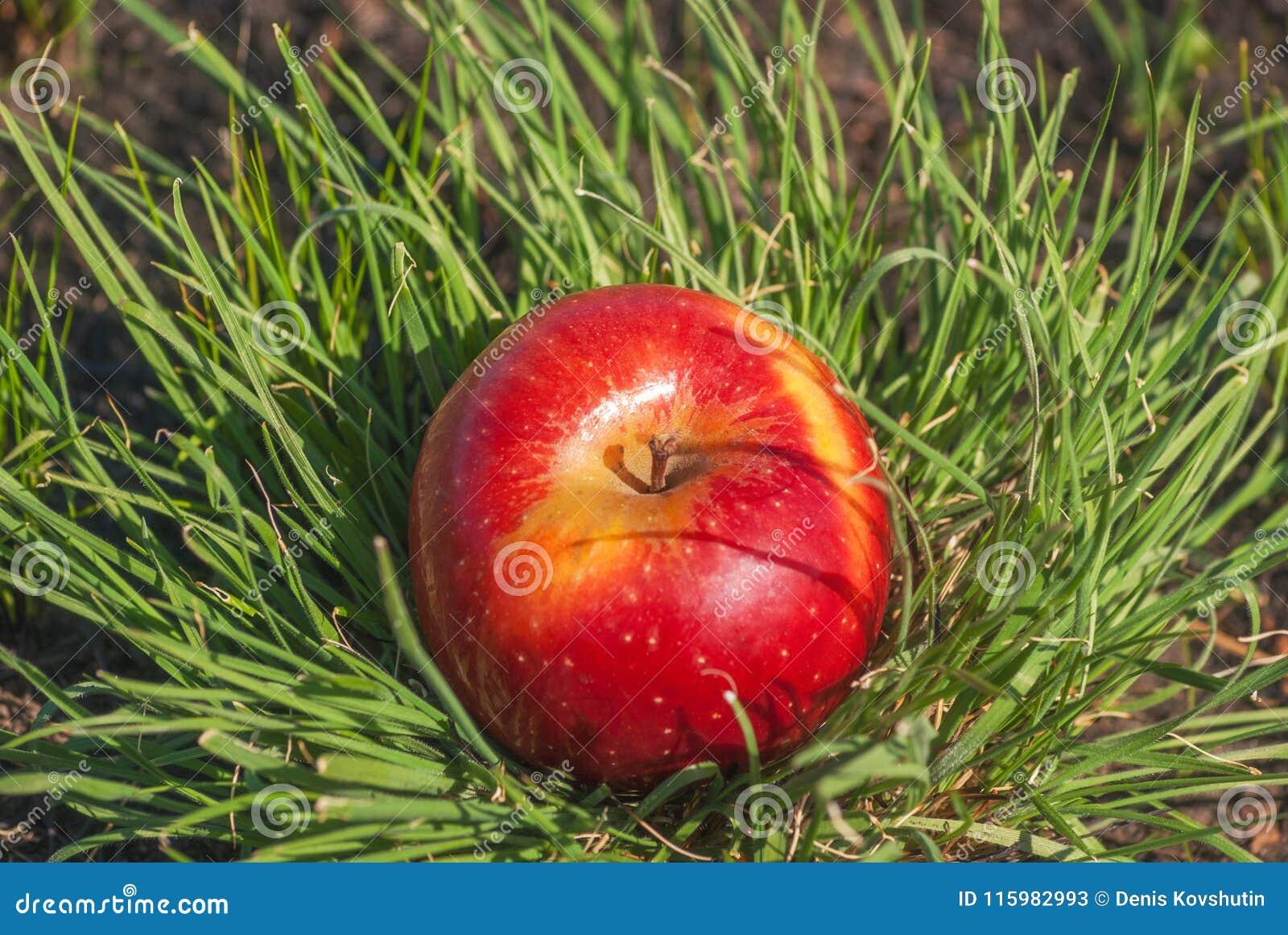 Fruta sólida jugosa roja de la manzana que miente bajo luz del sol en hierba verde Concepto de dieta sana orgánica de la nutrició