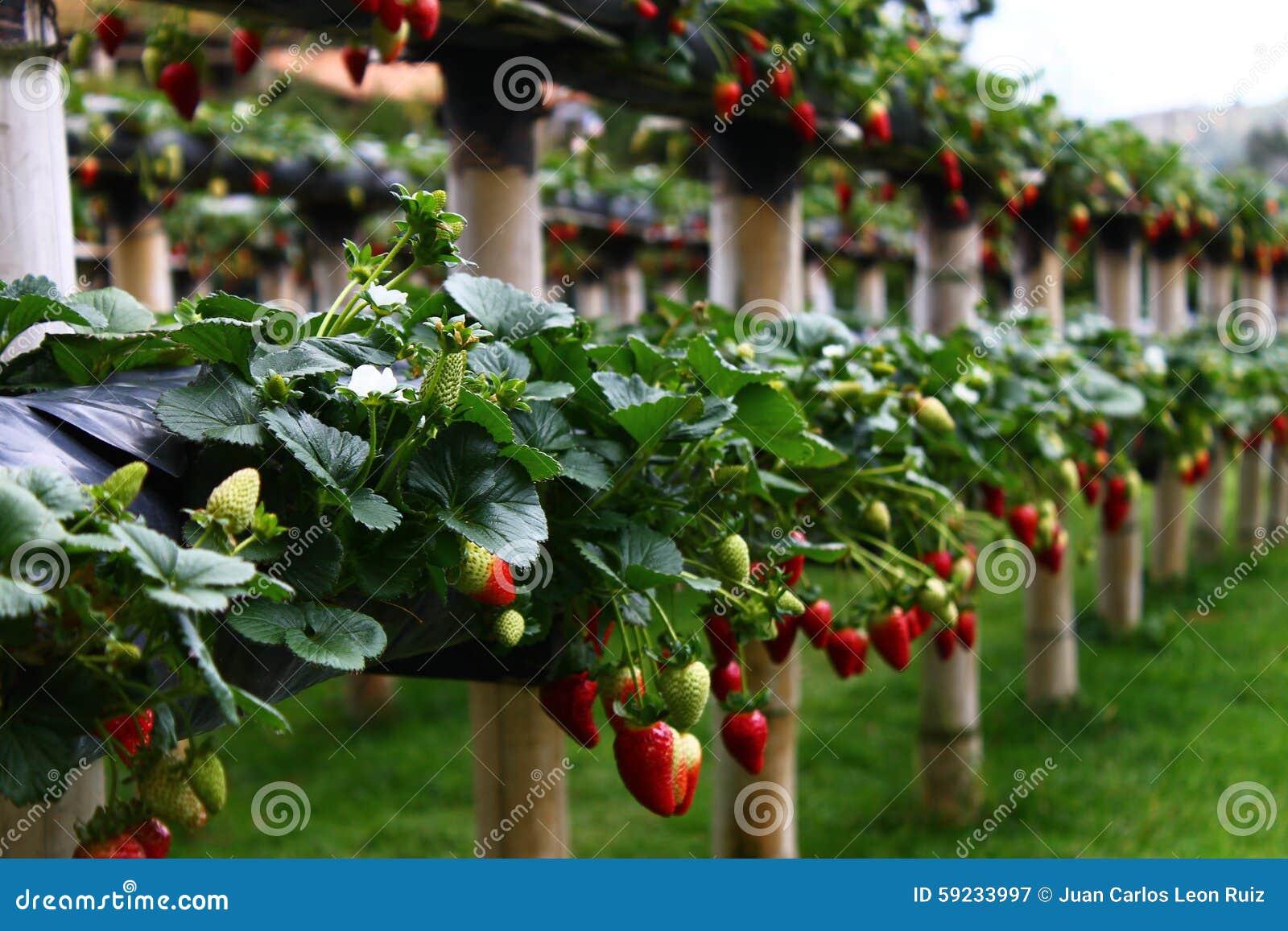 Download Fruta tropical imagen de archivo. Imagen de tropical - 59233997
