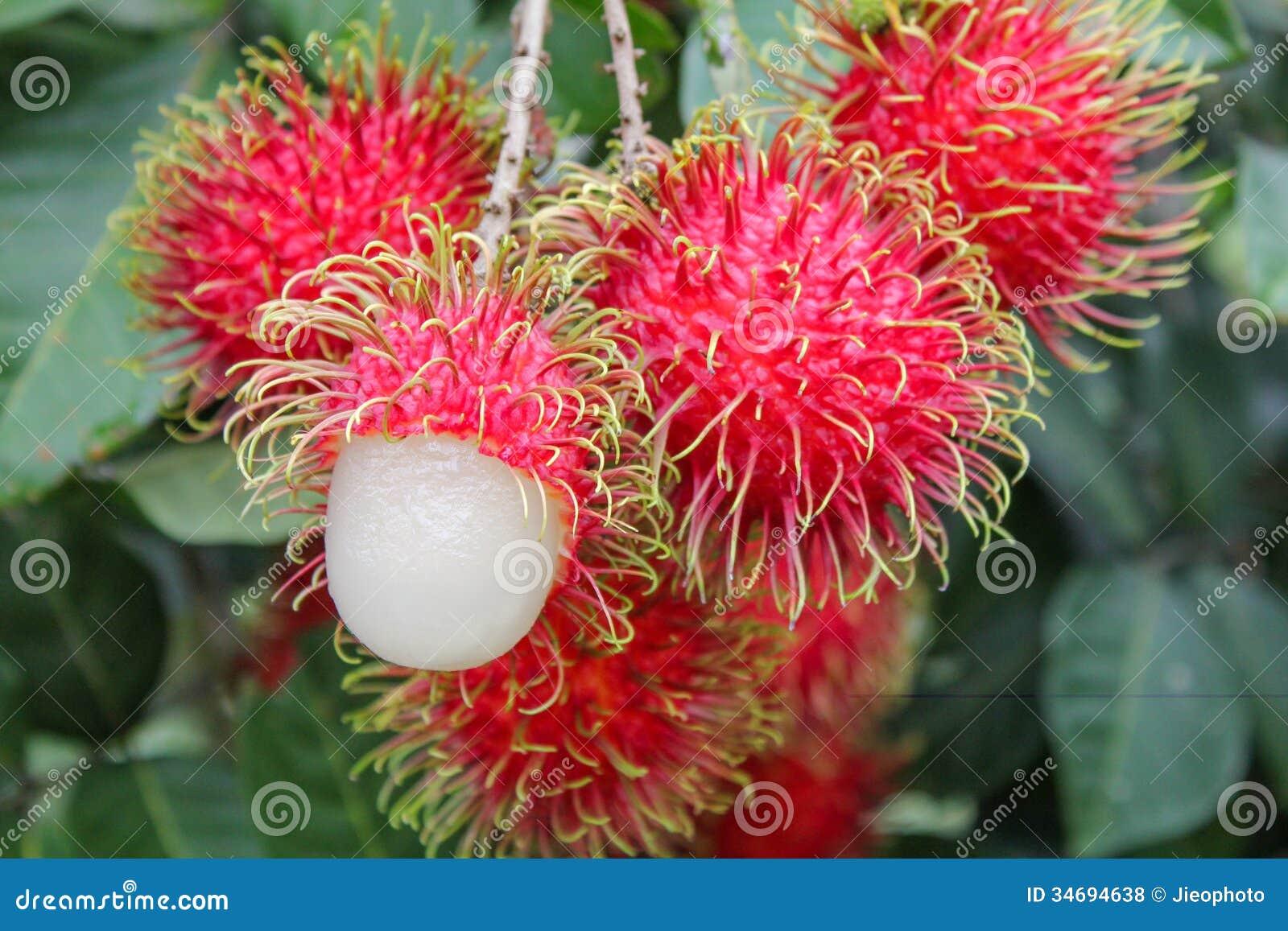 Fruta Tropical, Rambutan En árbol Fotos de archivo libres ...