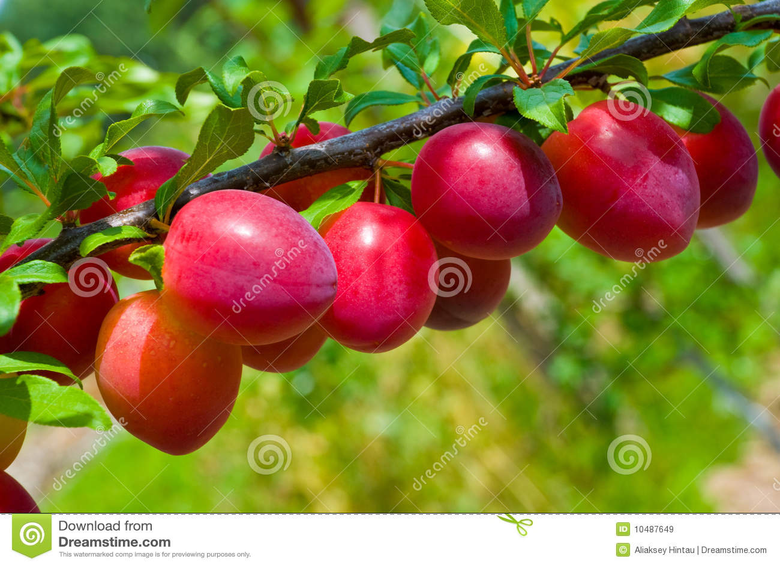 Frutas da árvore de ameixa