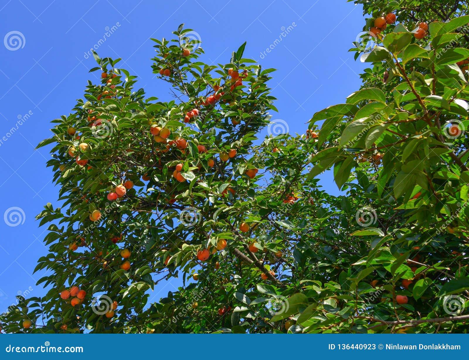 Frutas del caqui en el árbol en el otoño