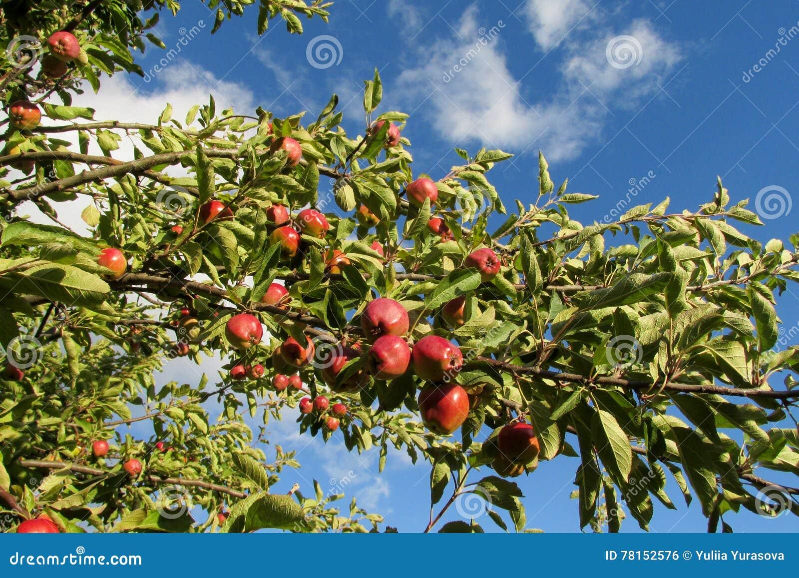 Manzana cuando es astringente