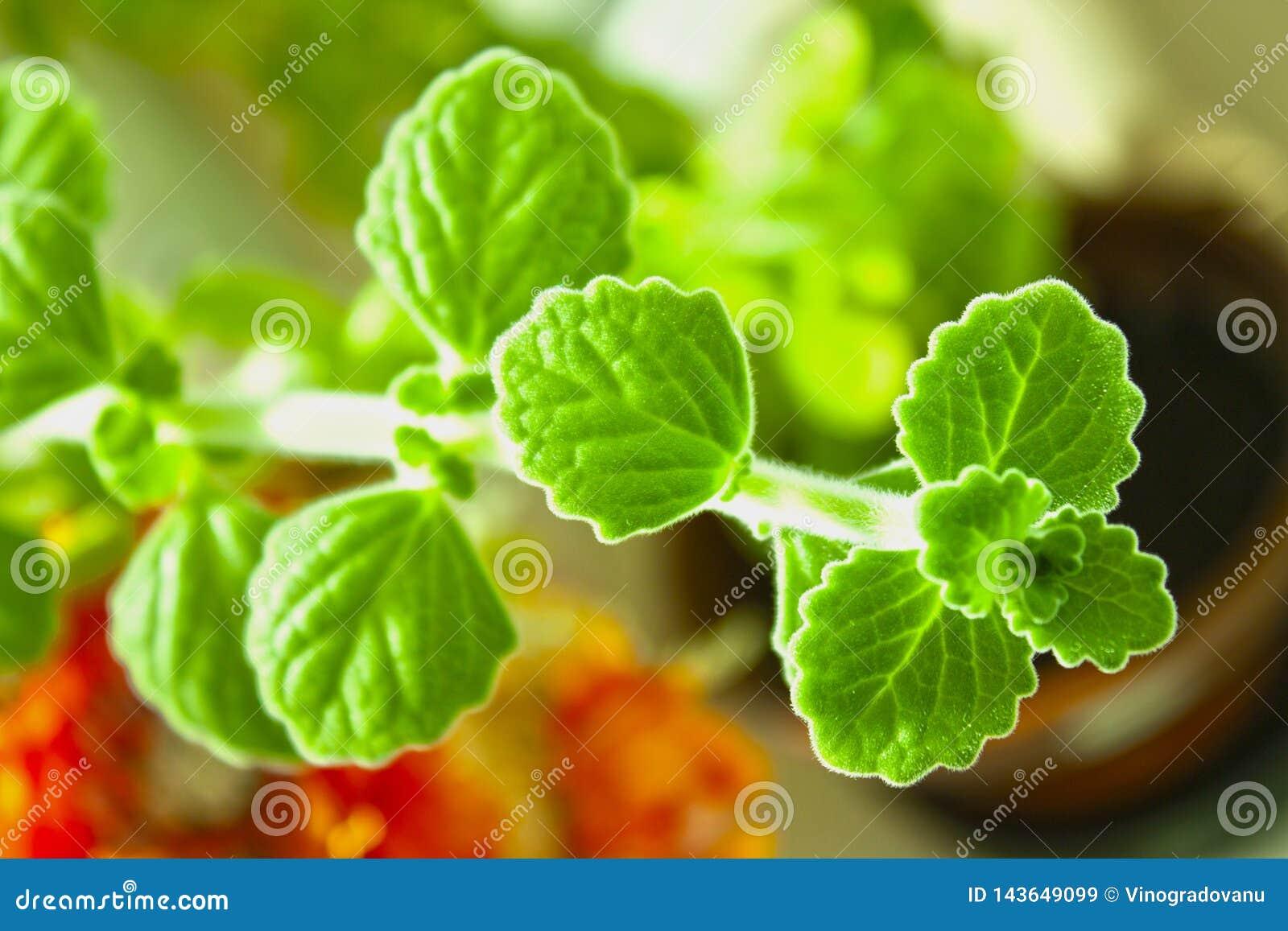 Fruticosus de Plectranthus ou officinalis de Melissa Planta Erva medicinal botany