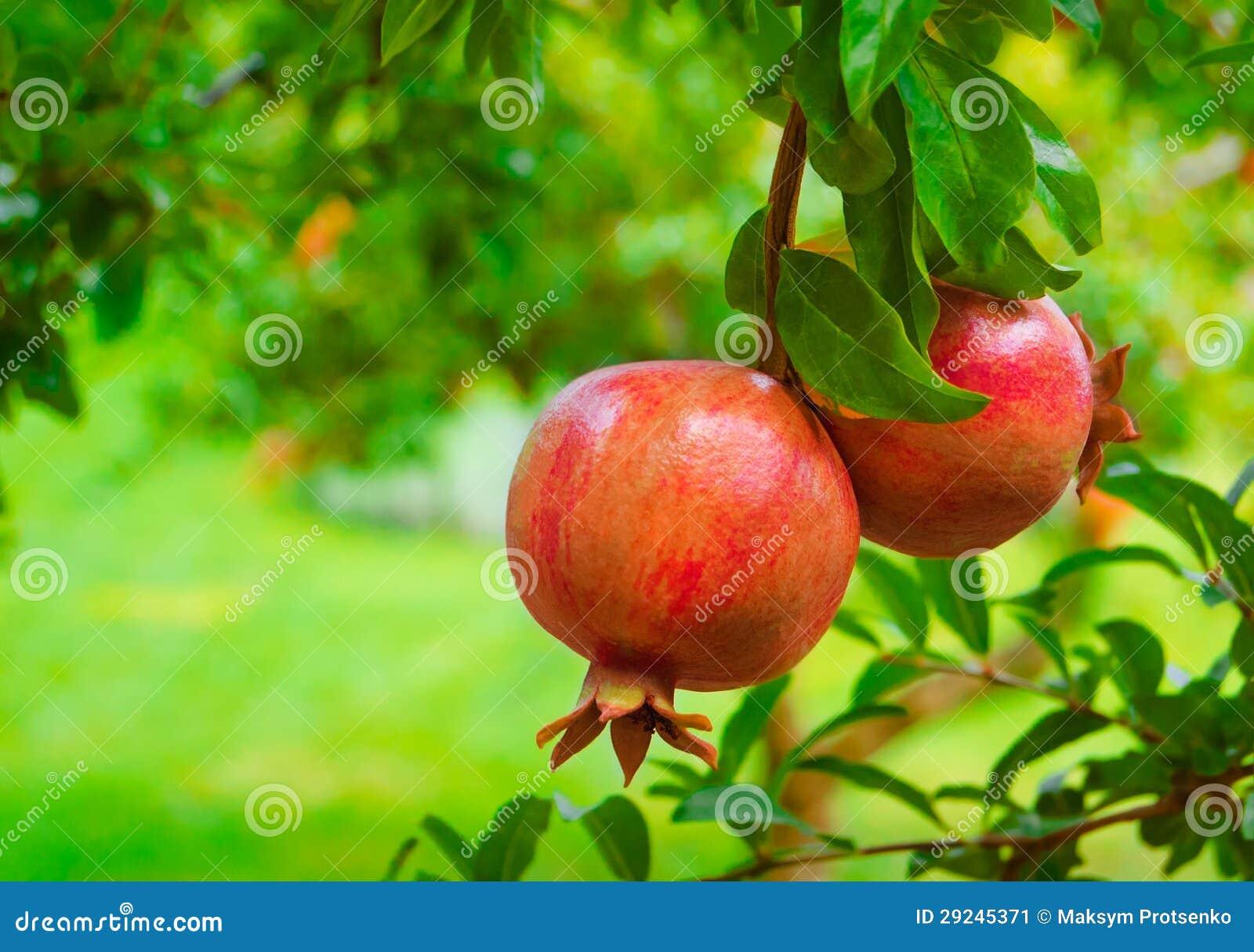 Download Fruto Colorido Maduro Da Romã No Ramo De árvore Imagem de Stock - Imagem de agricultura, suculento: 29245371