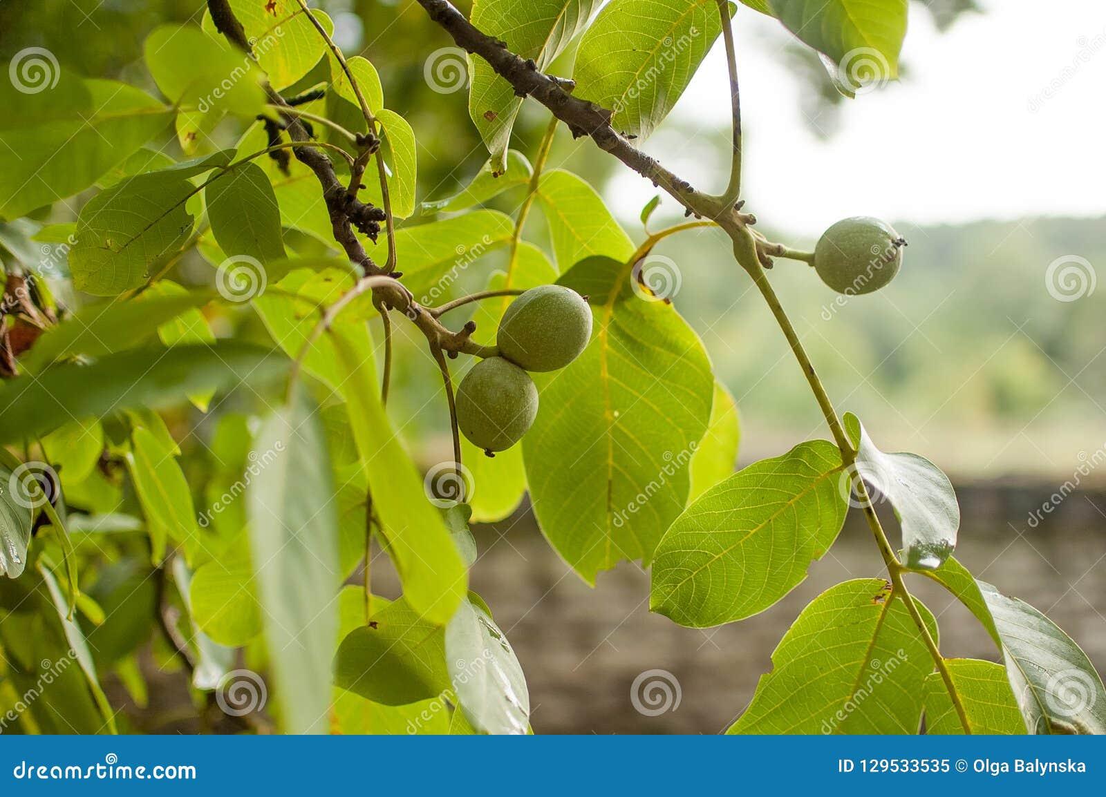 Fruto da noz na árvore Folhas do verde do fundo