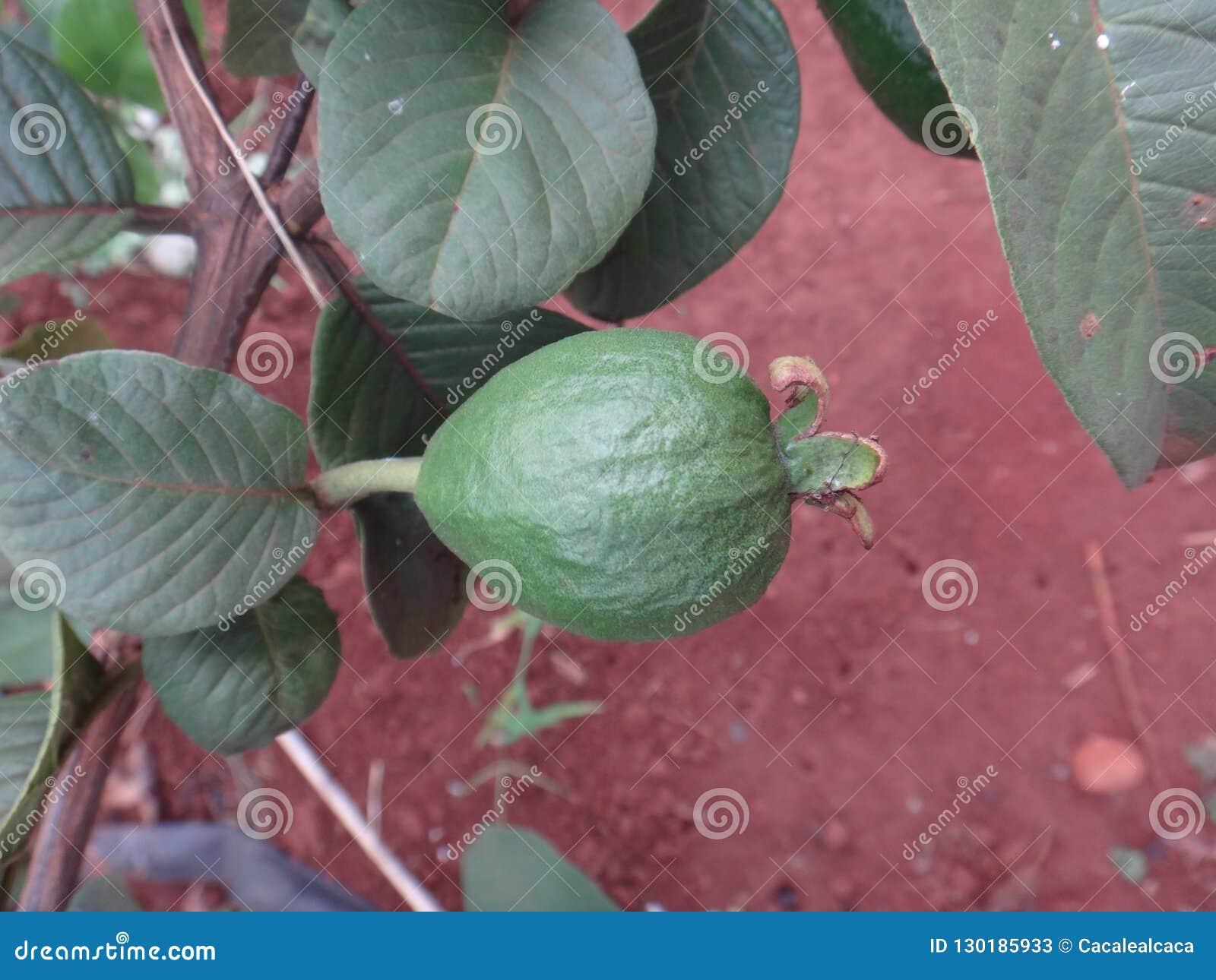 Fruto da planta do guajava do Psidium