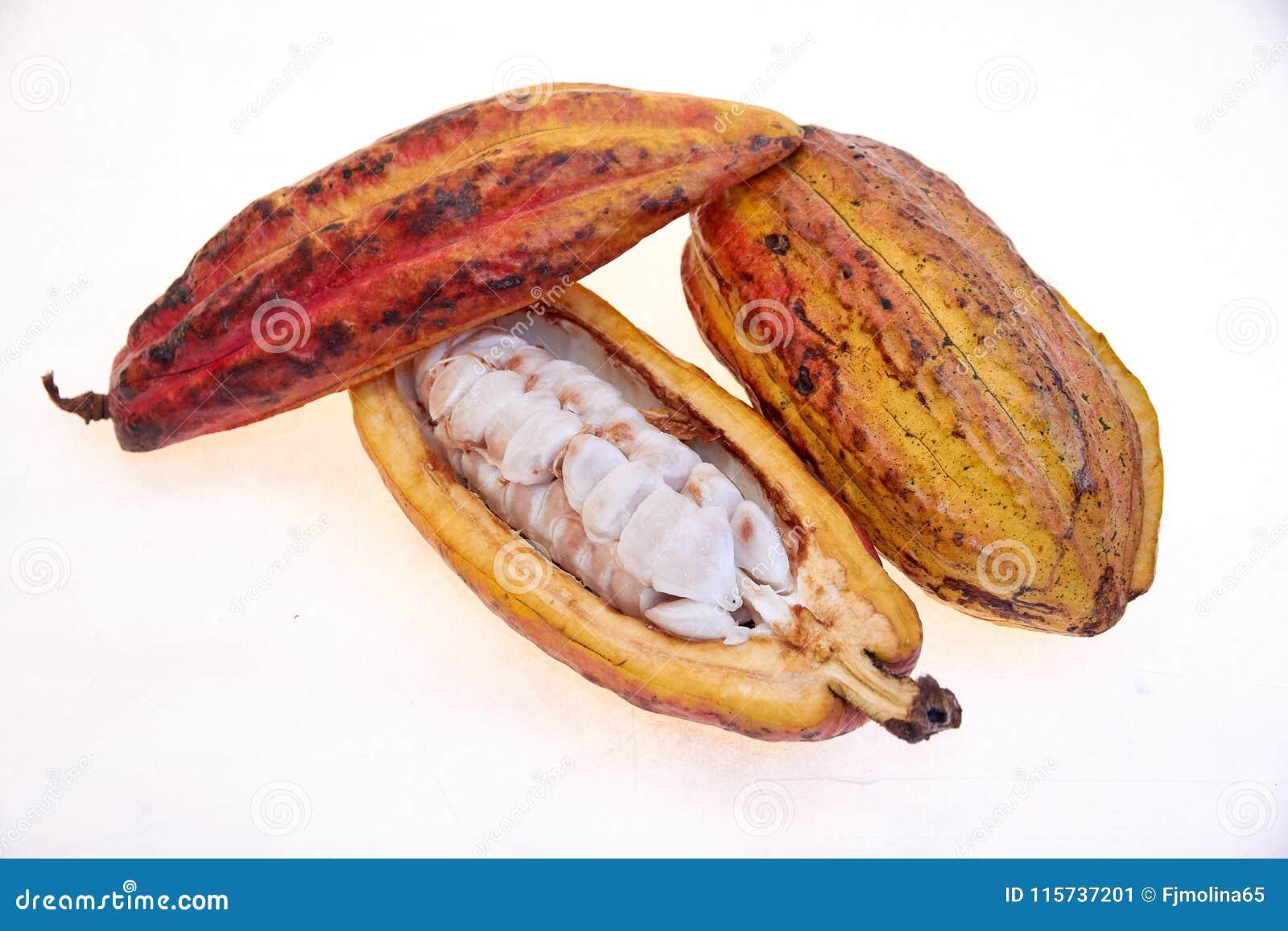 Fruto do cacau da variedade do Criollo