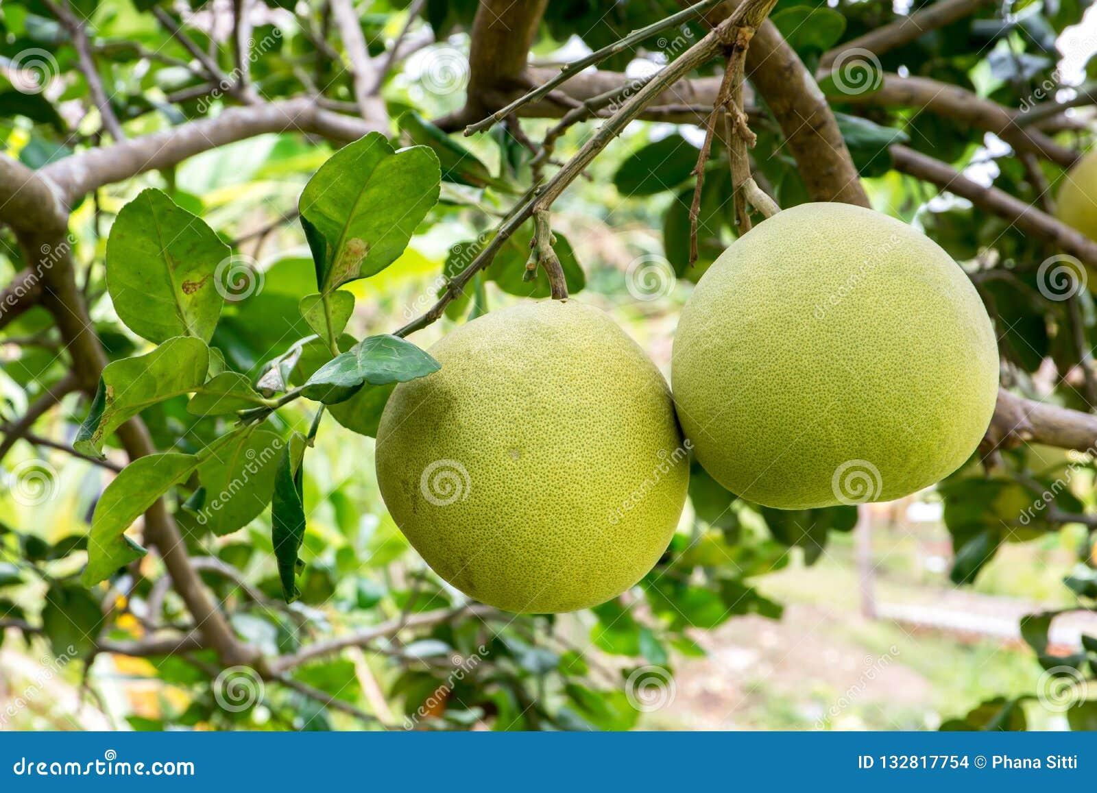 Fruto do Pomelo que pendura na árvore no jardim