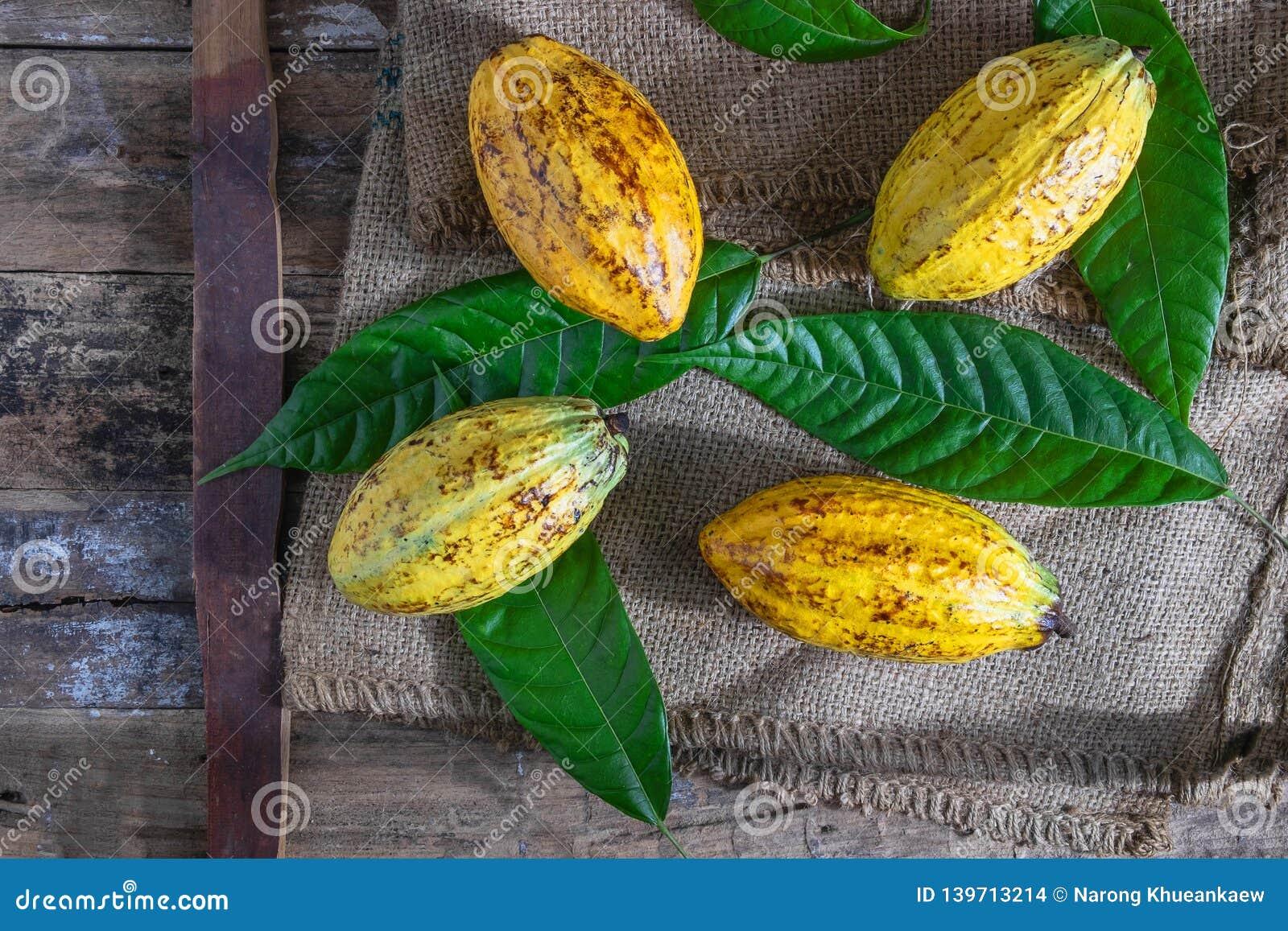 Fruto fresco do cacau no saco marrom