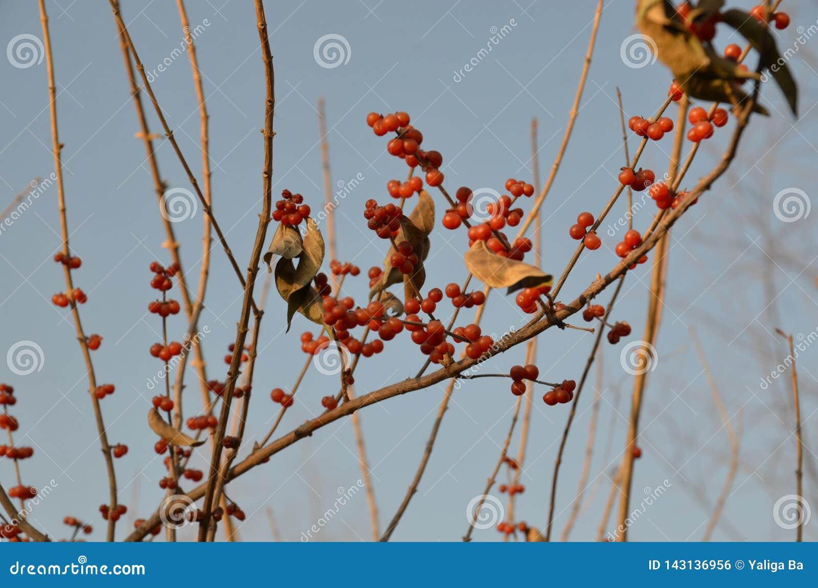 Fruto vermelho denso