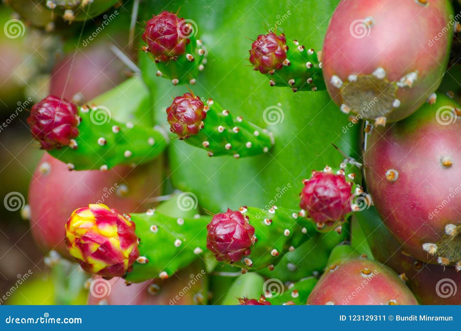 Fruto vermelho do cacto de pera espinhosa em um jardim botânico tropical