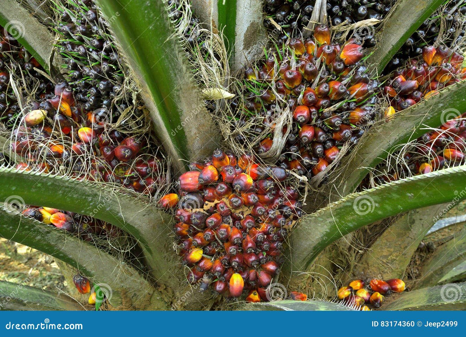 Frutos da palma