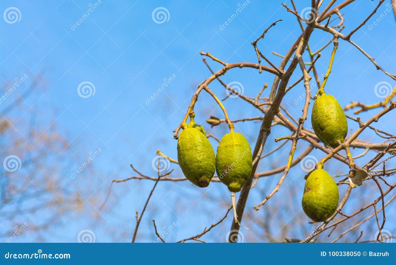Frutos do Baobab
