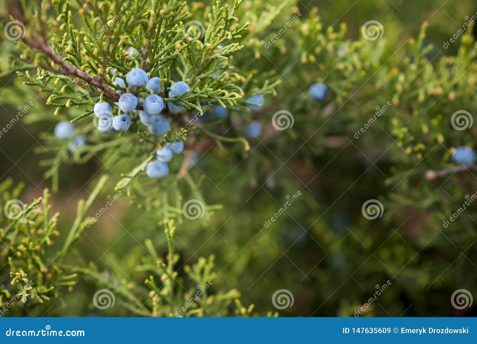 Frutos do juniperus do zimbro no arbusto