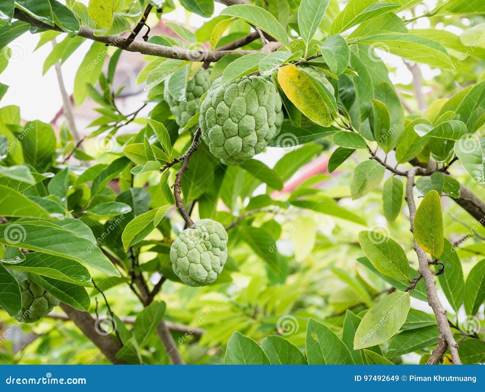 Frutta della mela cannella sull albero verde nel giardino