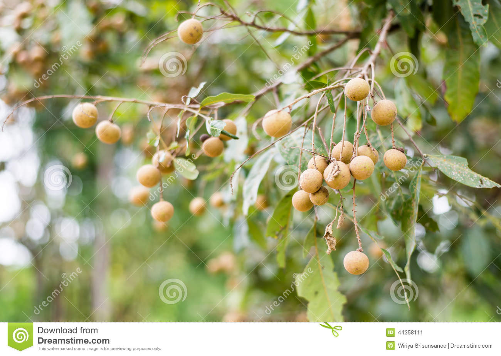 Frutta di Longan