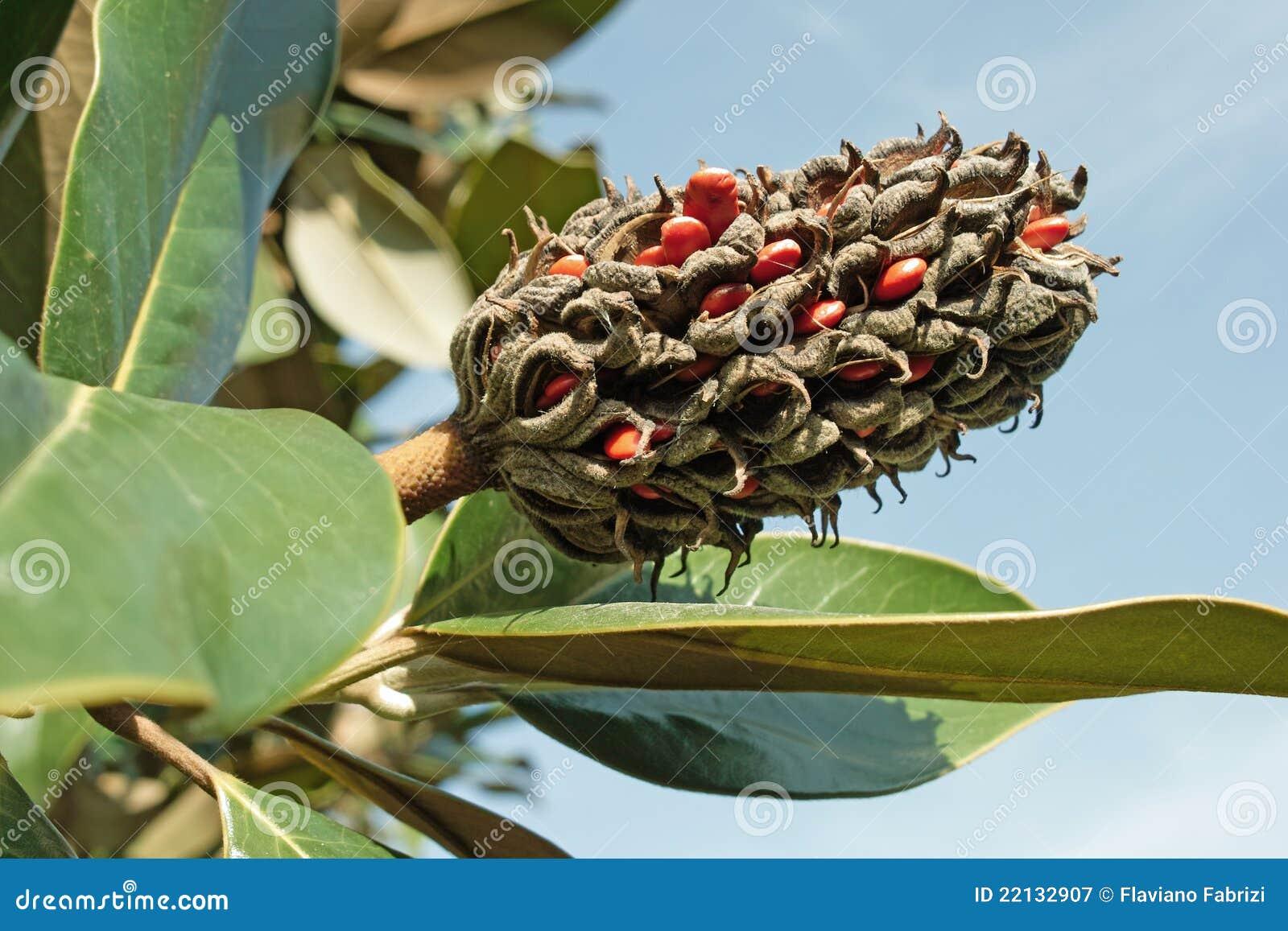 Frutta e semi della magnolia grandiflora immagine stock for Magnolia pianta prezzi