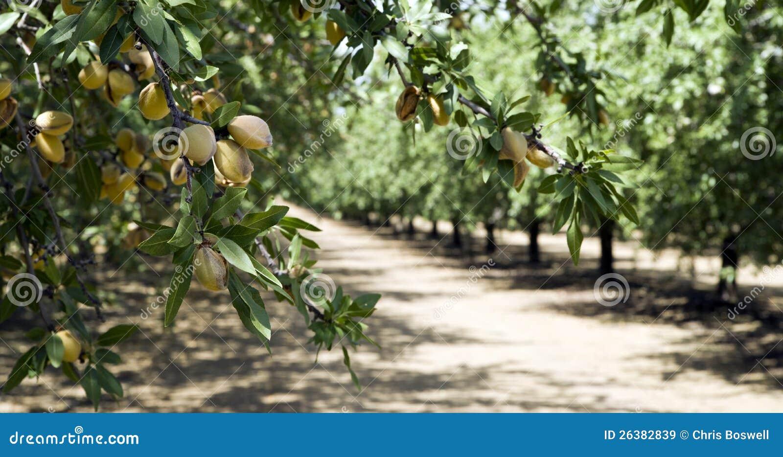 Frutteto della mandorla