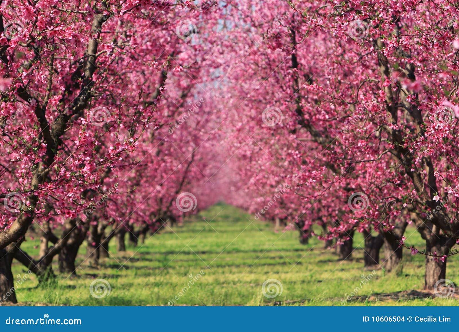 Frutteto di ciliegia in primavera