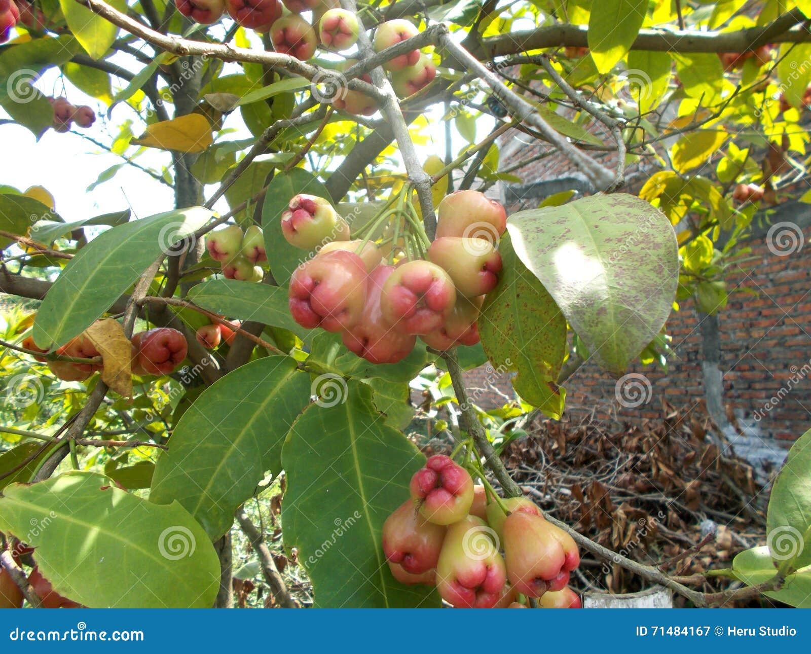 Frutti rossi di eugenia che appendono sull 39 albero for Pianta eugenia